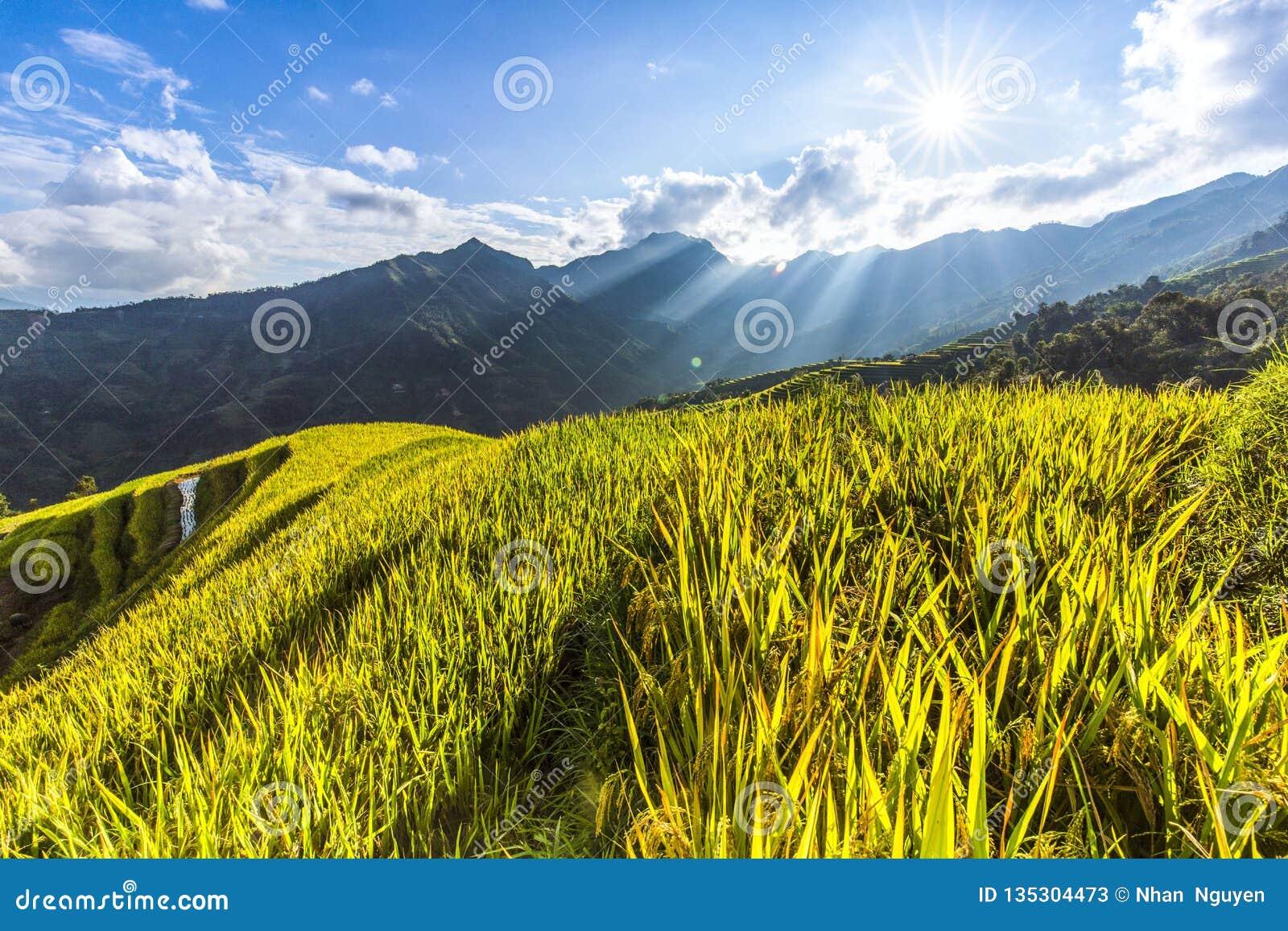 Paisaje hermoso del campo de oro del arroz o del campo de arroz con el cielo azul y la nube