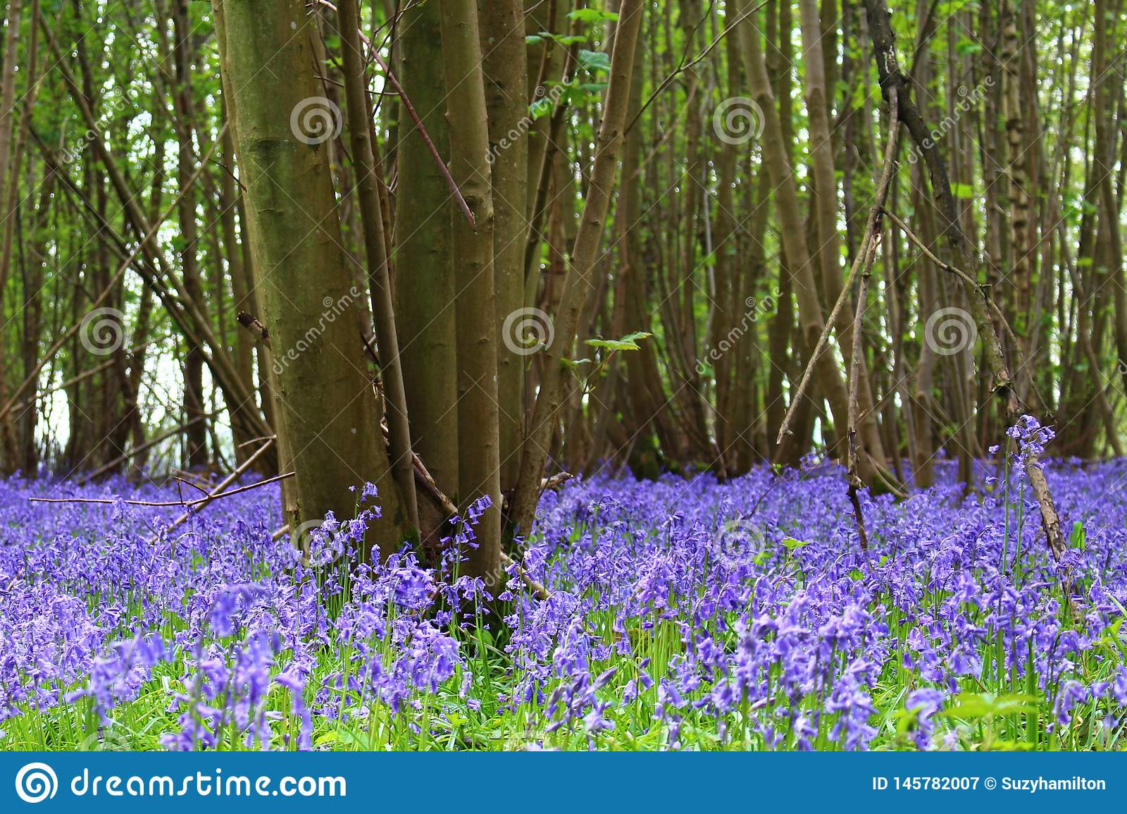 Paisaje no--scripta del piso del arbolado del Hyacinthoides de madera de la campanilla