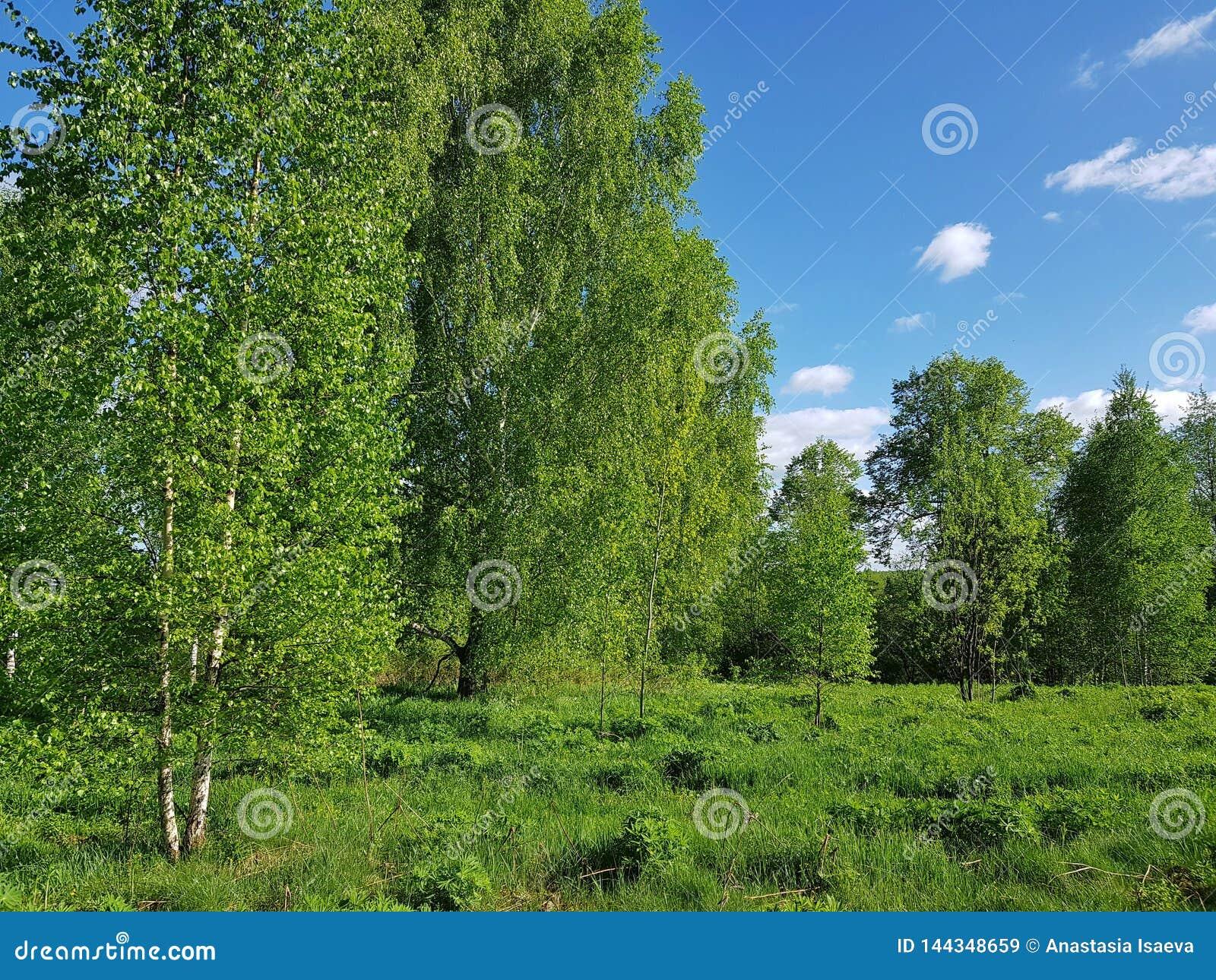 Paisaje verde de la primavera Árboles de abedul con follaje fresco de las hojas