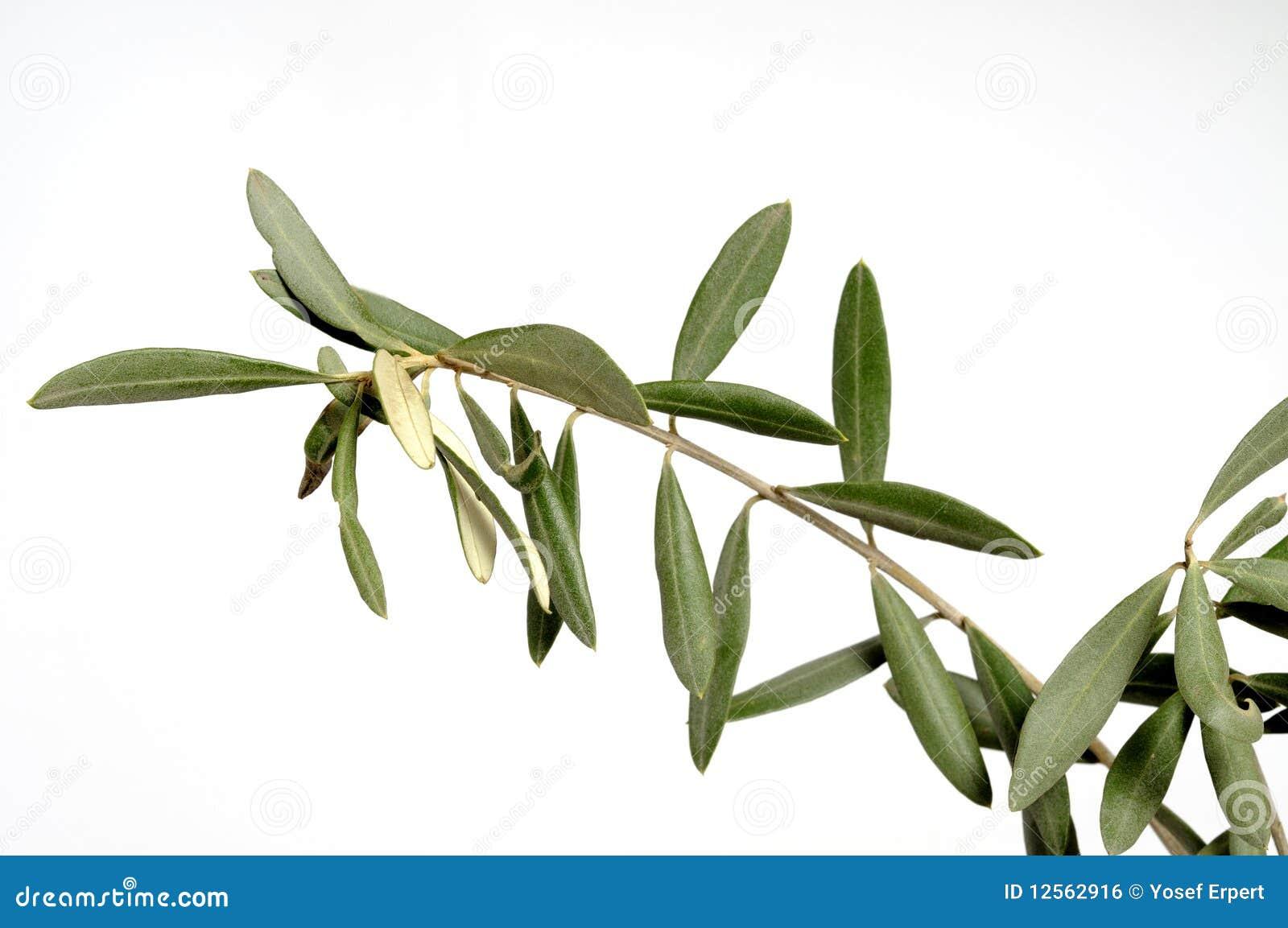 paix de symbole de branche d 39 olivier photo stock image du symbole beurre 12562916. Black Bedroom Furniture Sets. Home Design Ideas
