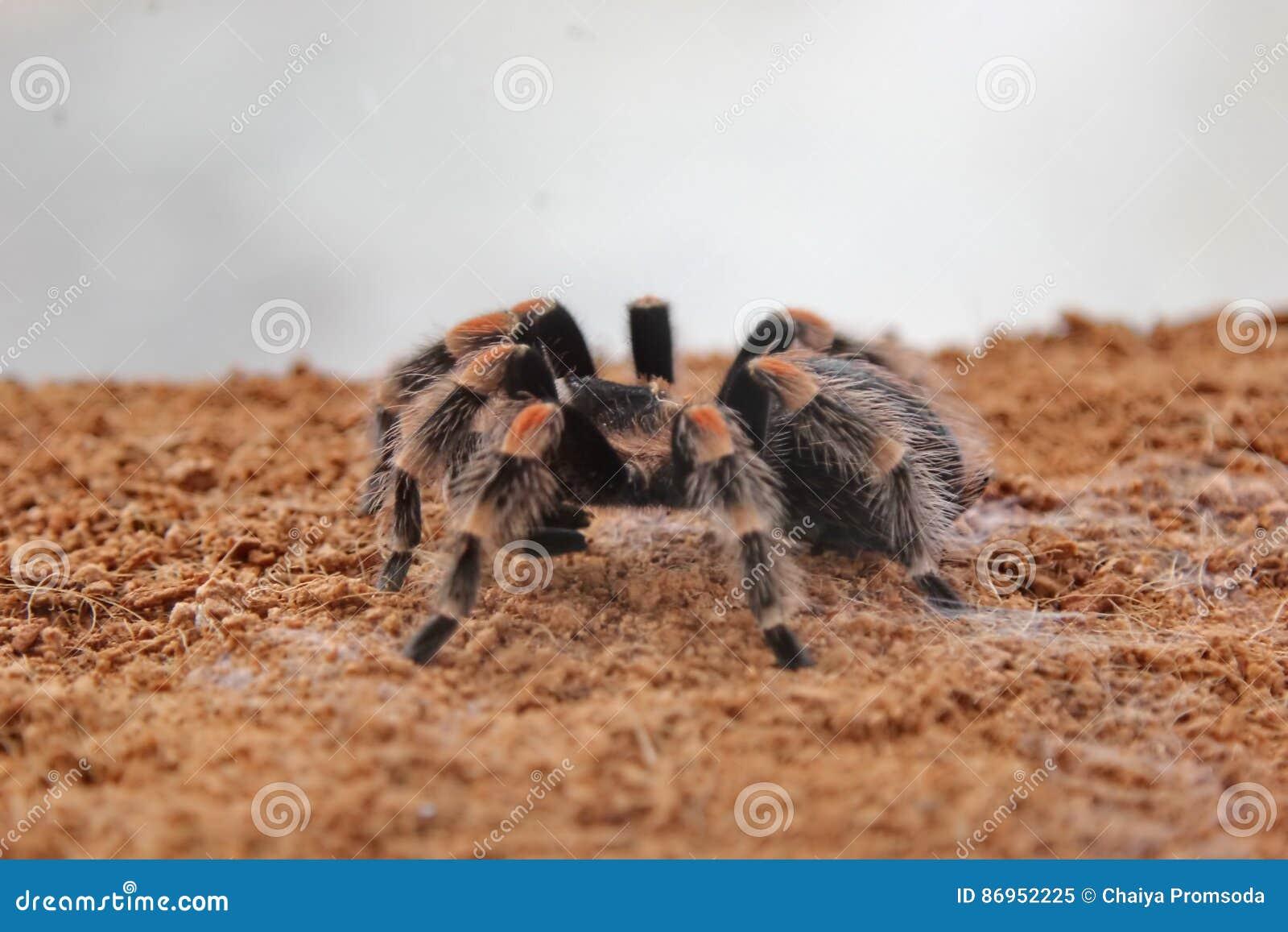 Pająk tarantula