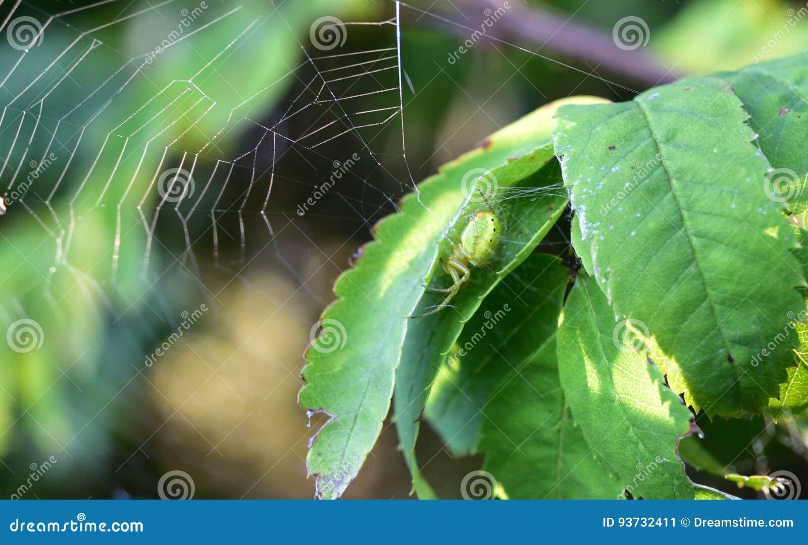 Pająk zielone
