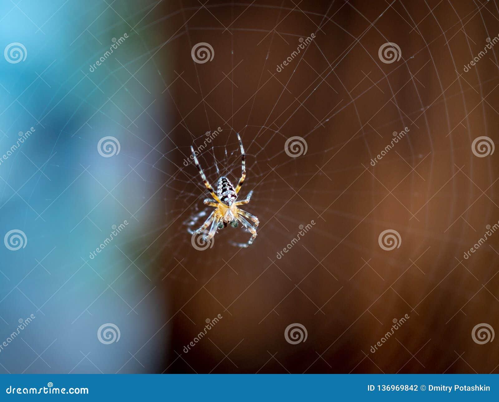 Pająka Araneus na sieci