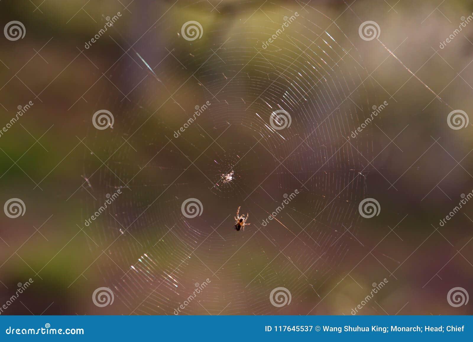 Pajęczyna; pająk sieć; tela aranea; [ç  µå ½ ±] Das Spinnennetz