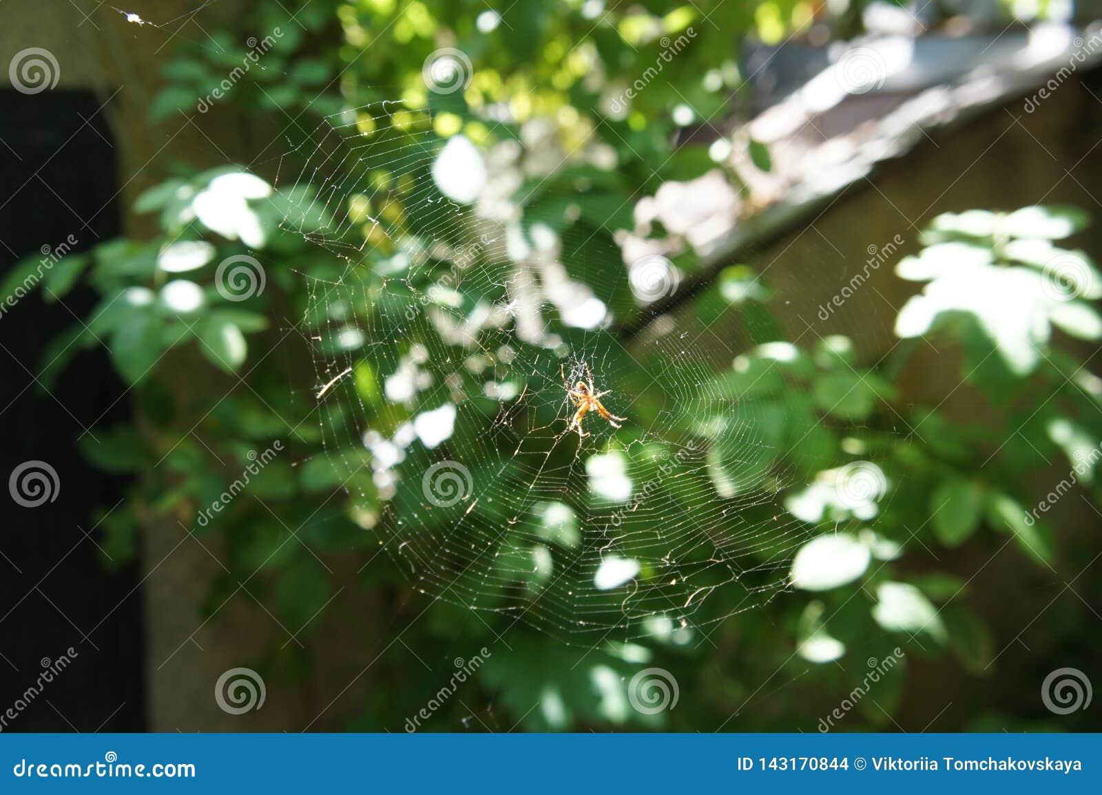 Pajęczyna z pająkiem w ogródzie w słońcu