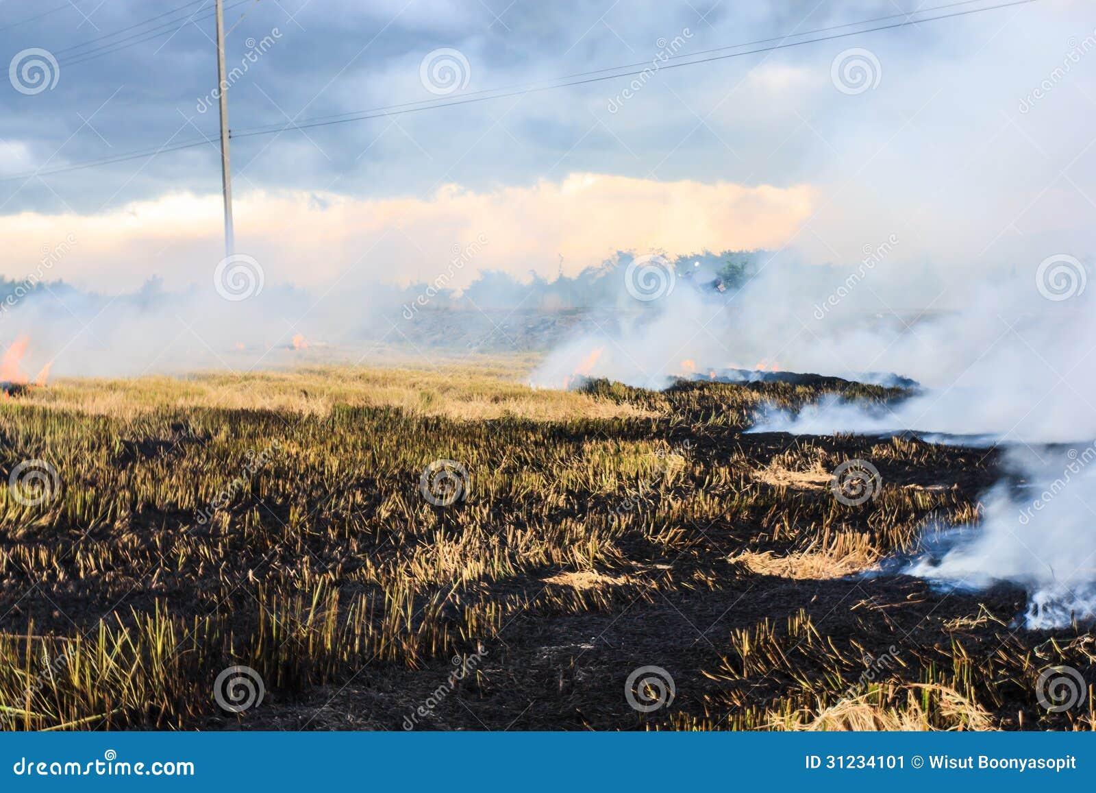 Paja ardiente en la plantación del arroz.