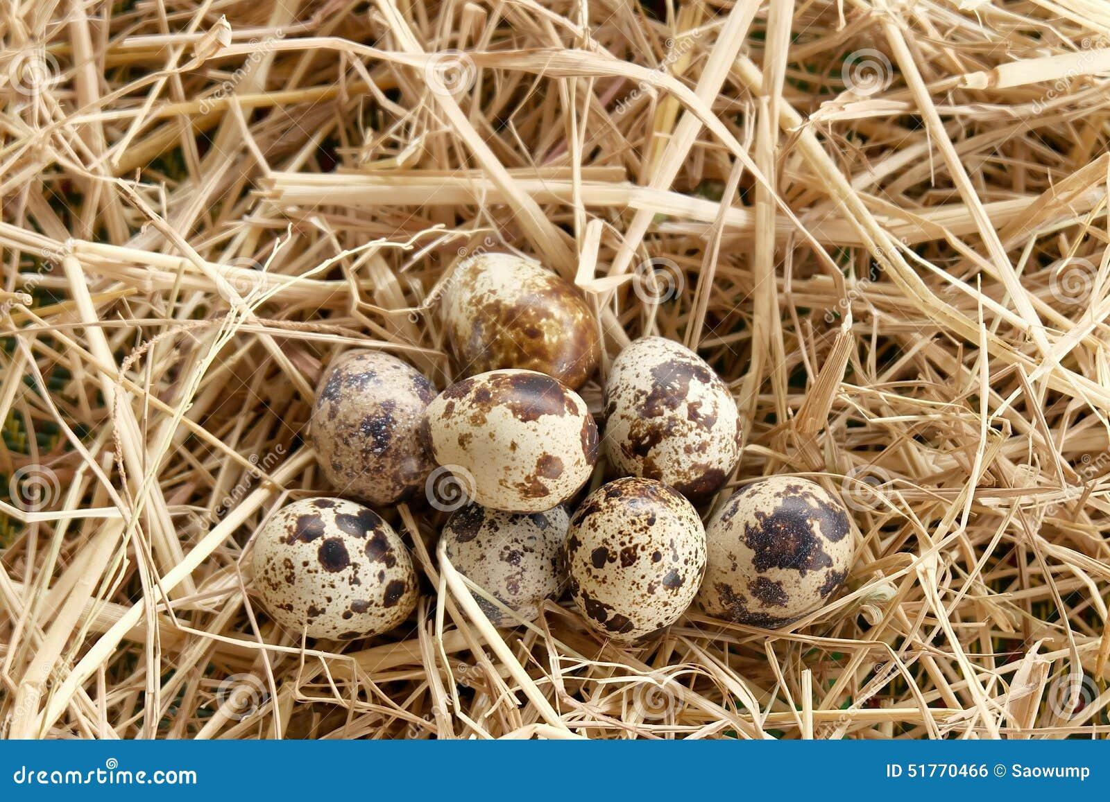 Paja de la paja del huevo de codornices