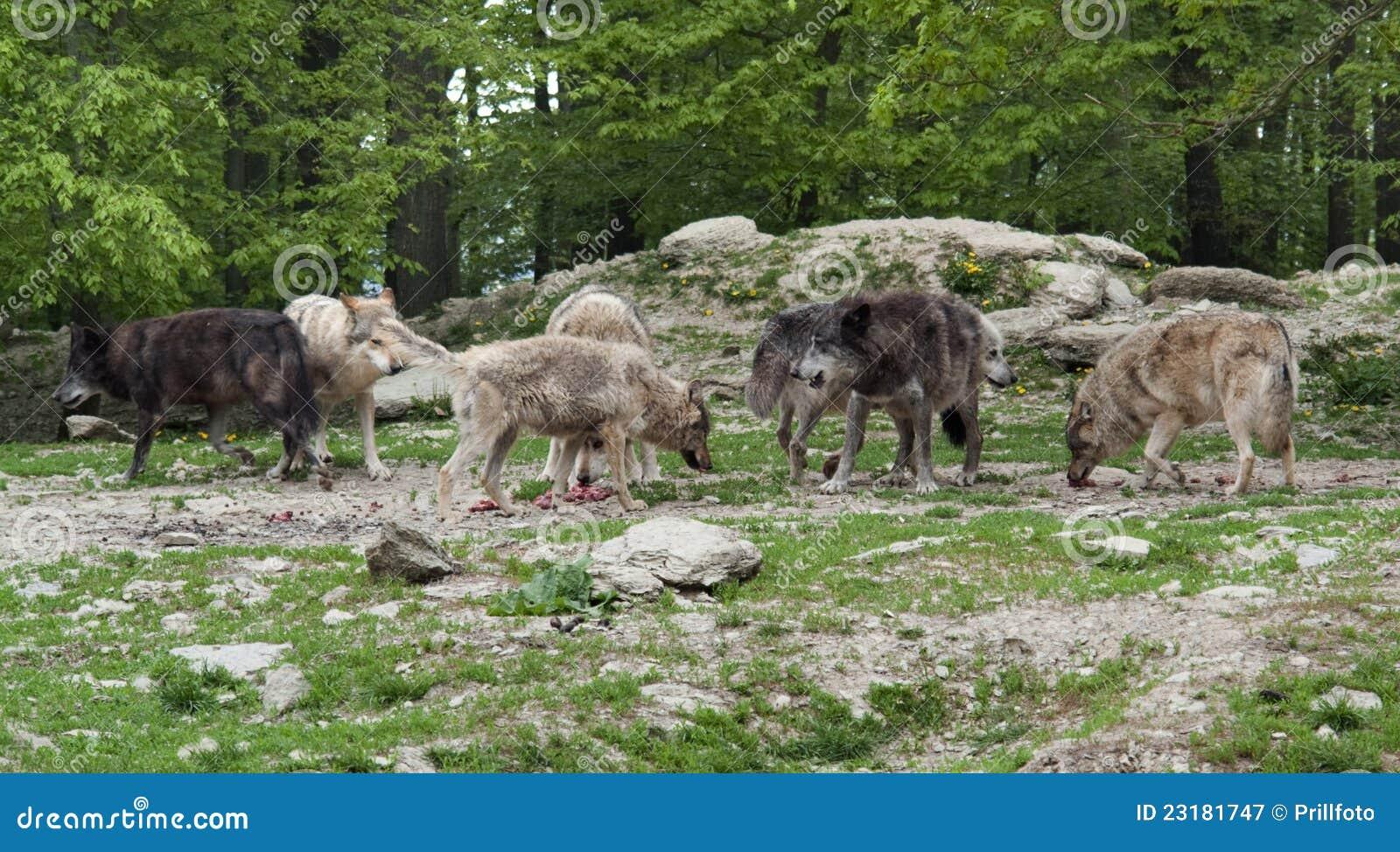 Pak Grijze Wolven dichtbij bosrand