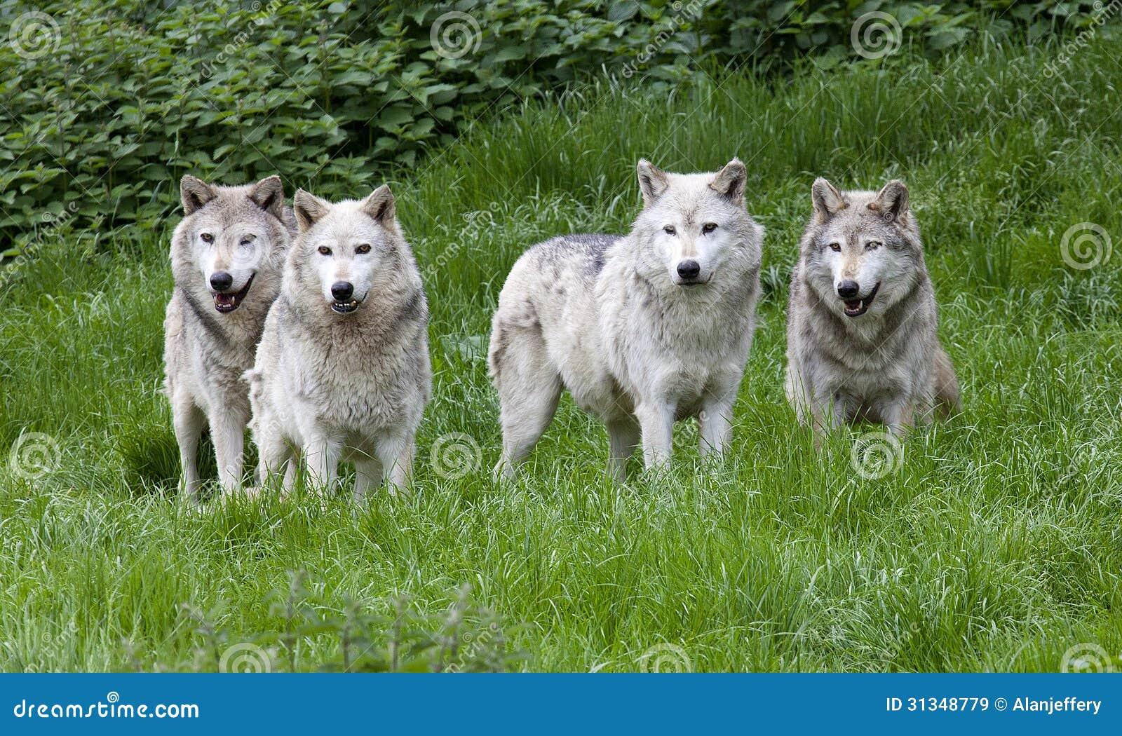 Pak van Europees Grey Wolves