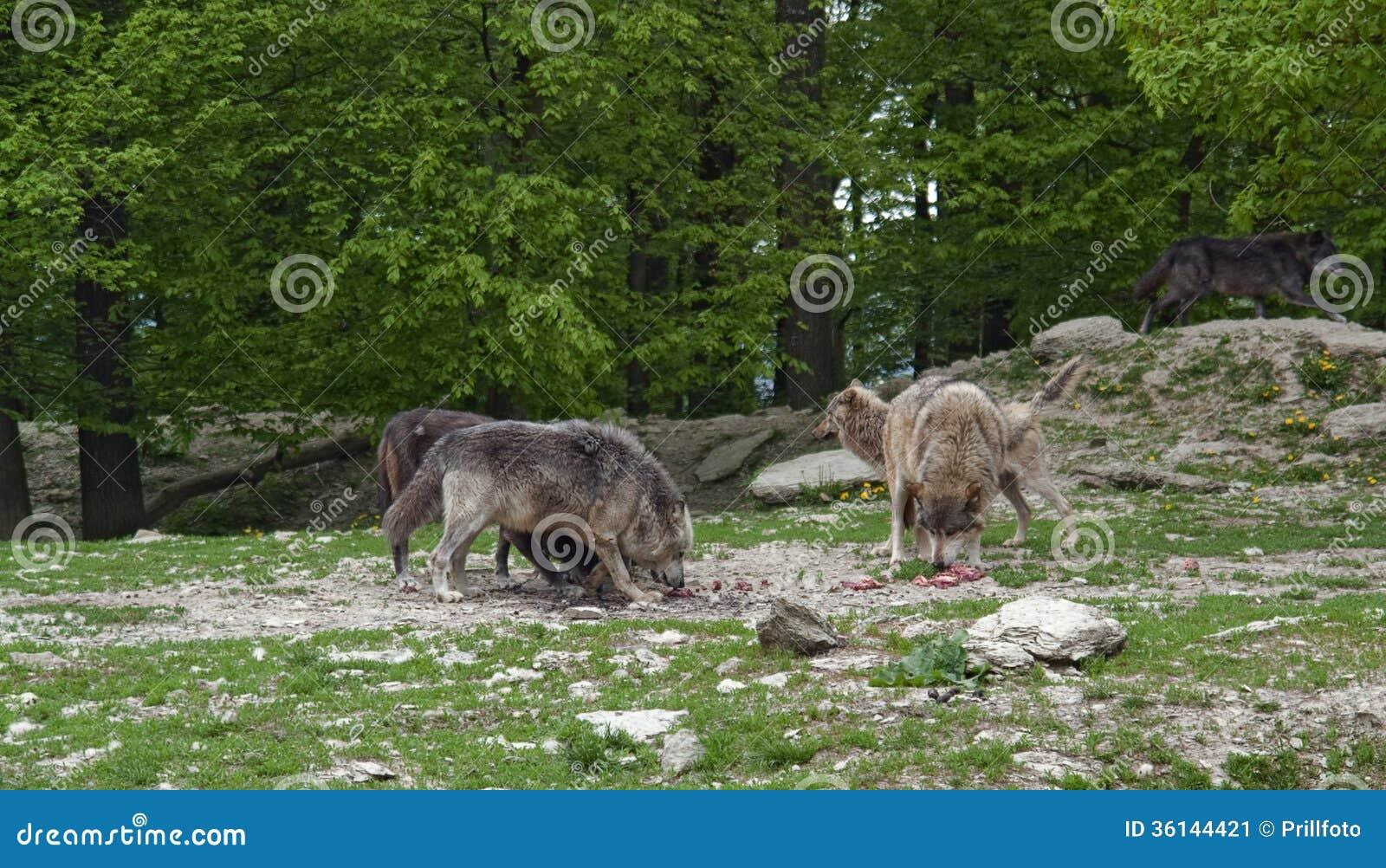 Pak wolven bij voer