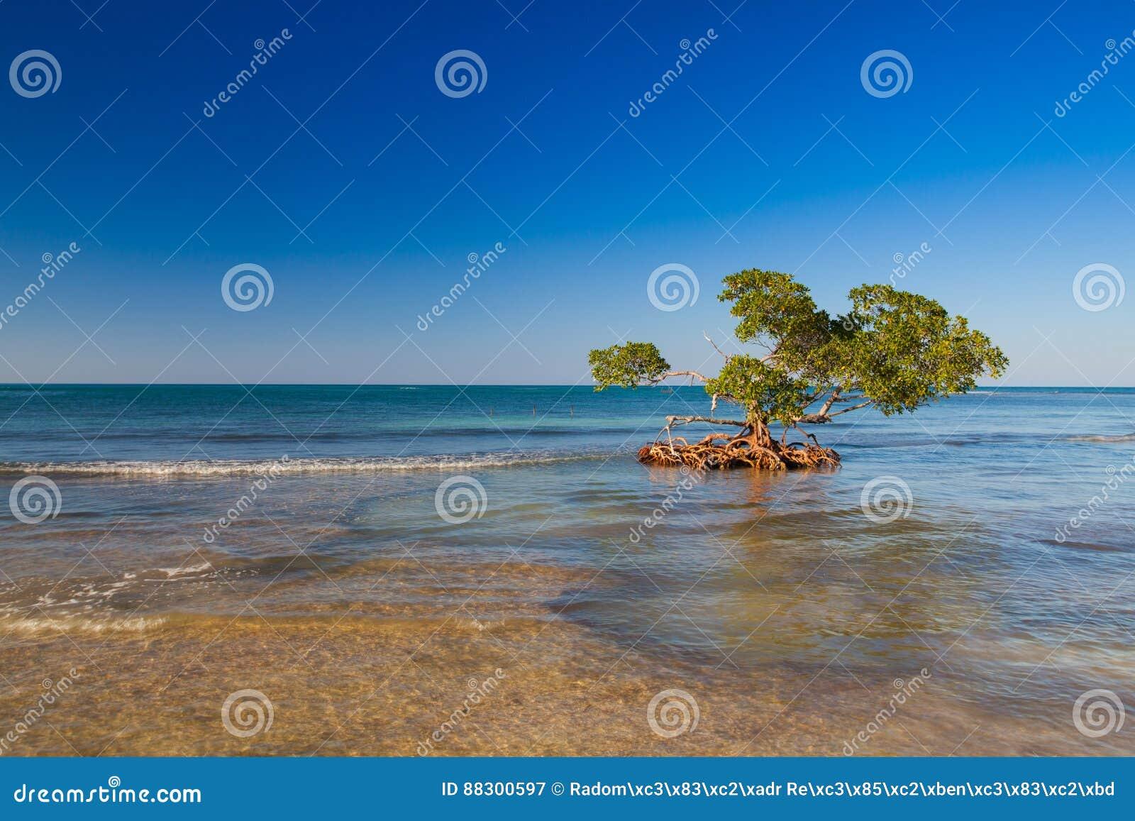pal tuviers au bord de la mer des cara bes plage de cayo jutias cuba image stock image 88300597. Black Bedroom Furniture Sets. Home Design Ideas