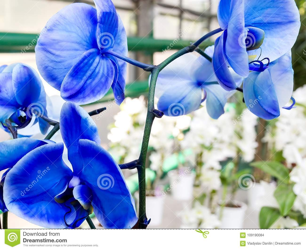 The Pale Blue Orchid Flower In Tropical Garden Spring Day For P