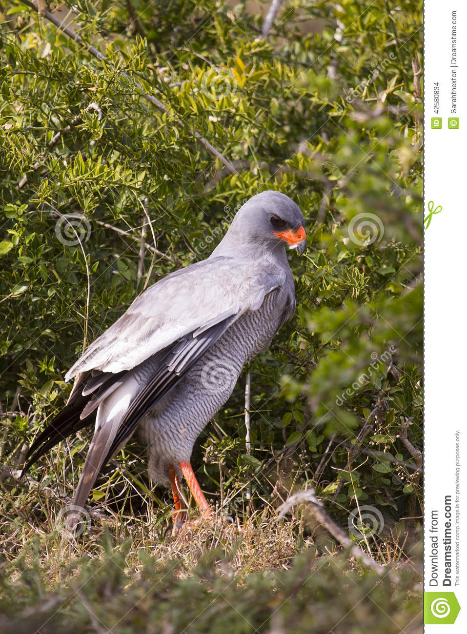 Pale chanting goshawk in attack mode