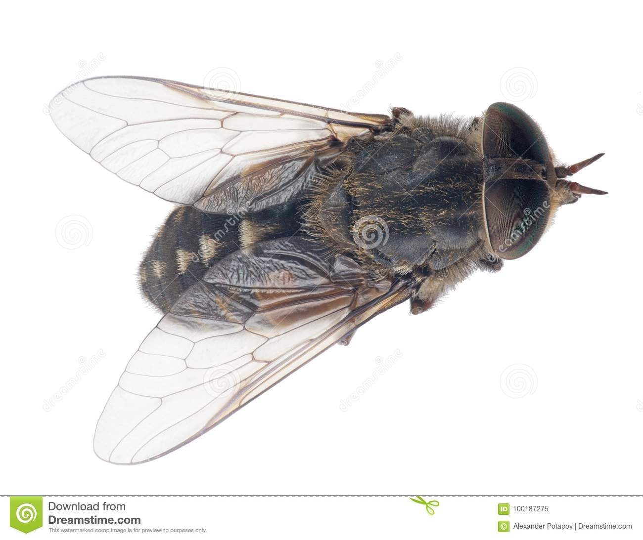 Pale giant horse-fly top view