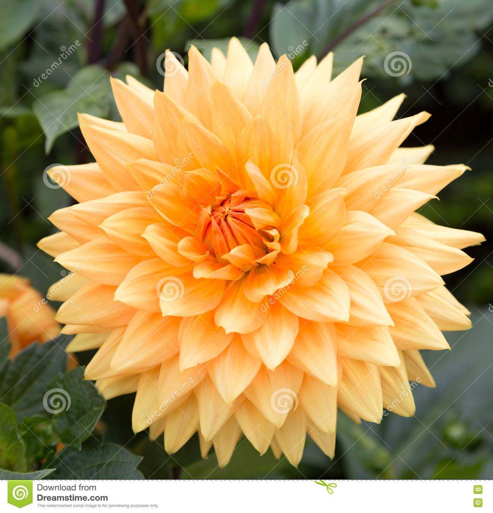 Pale Orange Dahlia Flower Stock Image Image Of Flower 75995529