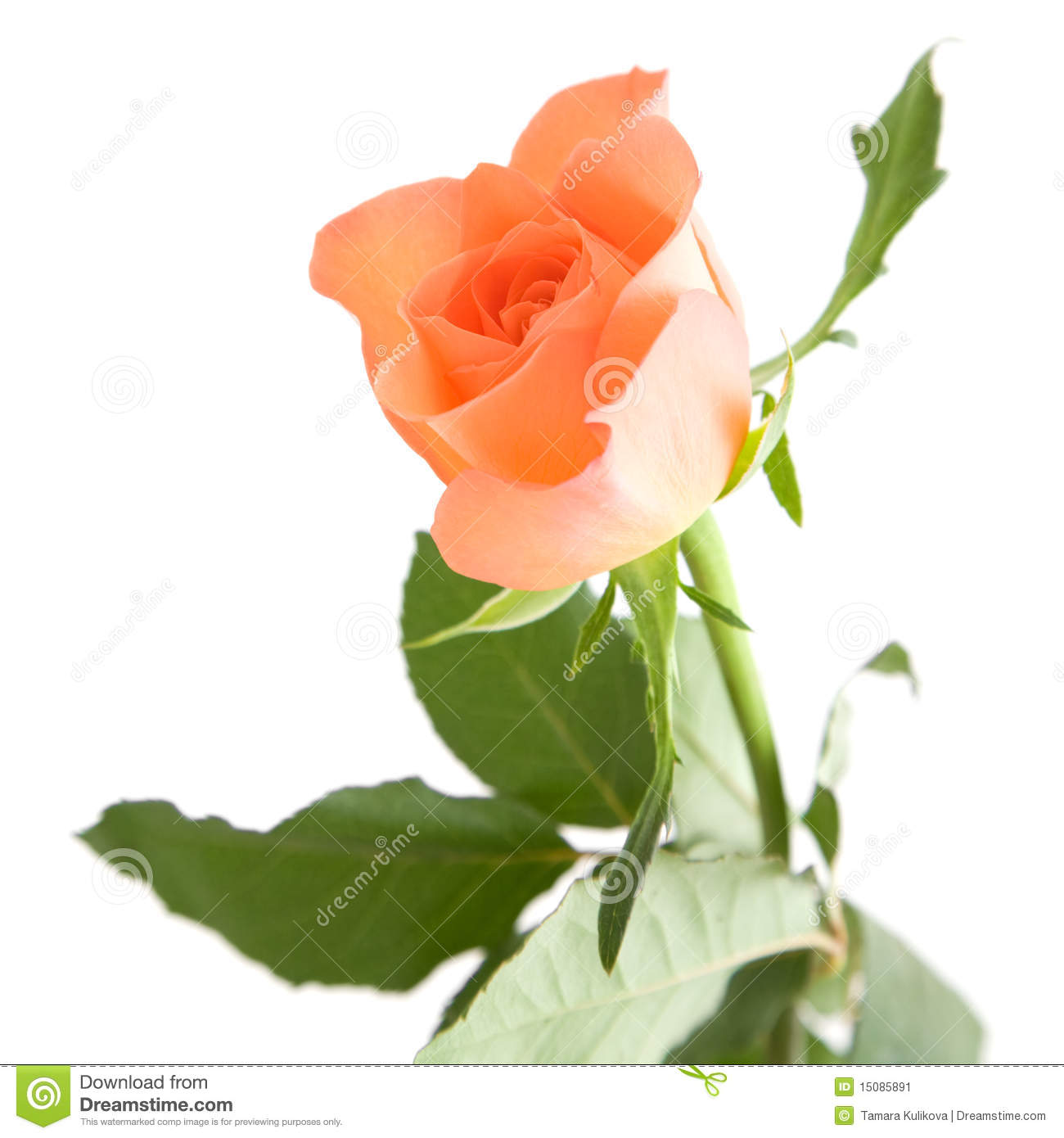 Pale Orange Rose Stock Image Image Of Close Leaves