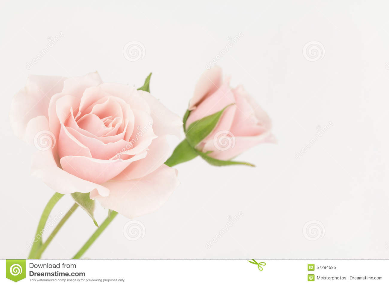 pale pastel pink roses stock image image of roses pale 57284595. Black Bedroom Furniture Sets. Home Design Ideas