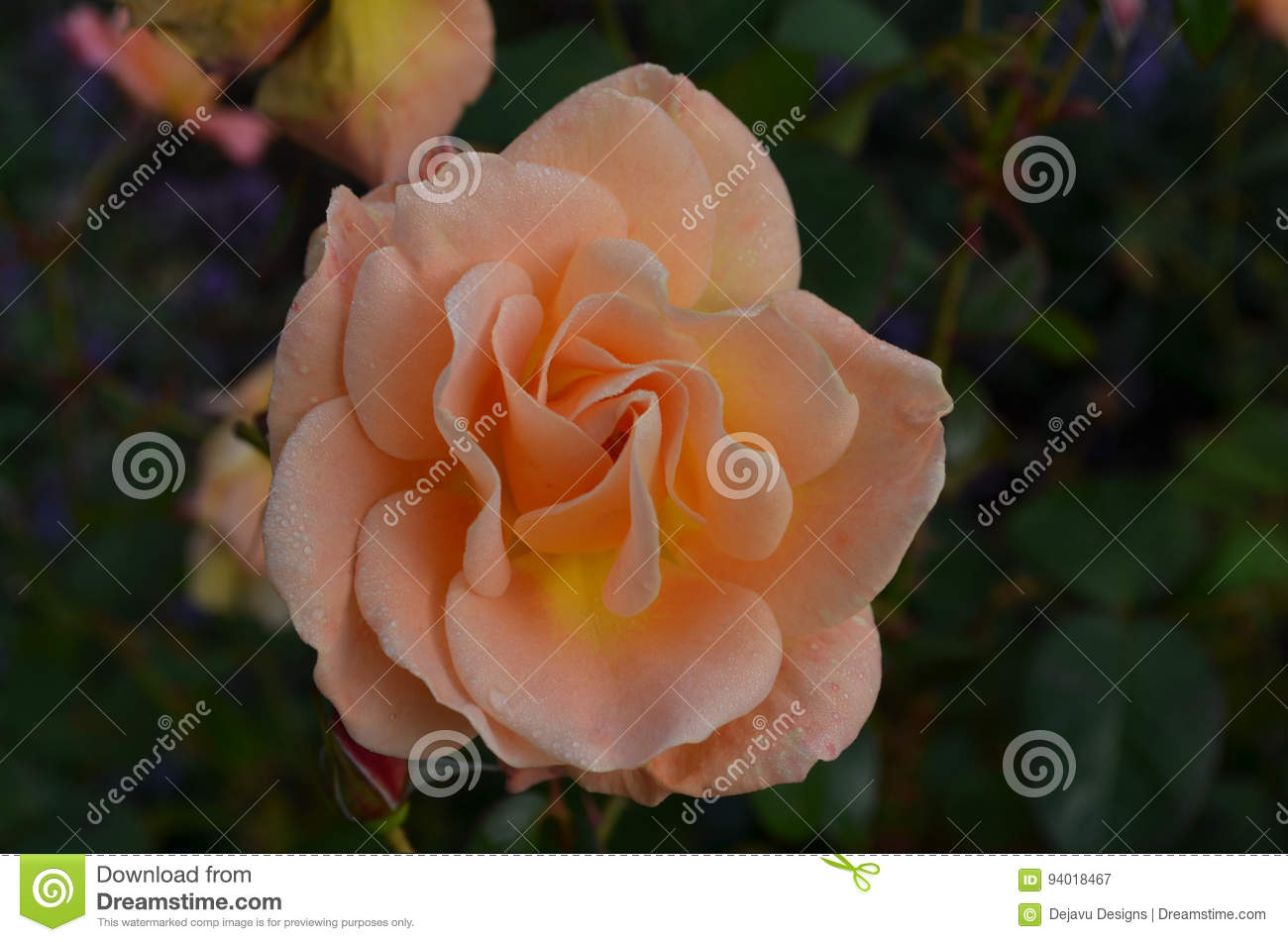 Pale Peach Flowering Rose Blossom in een Tuin