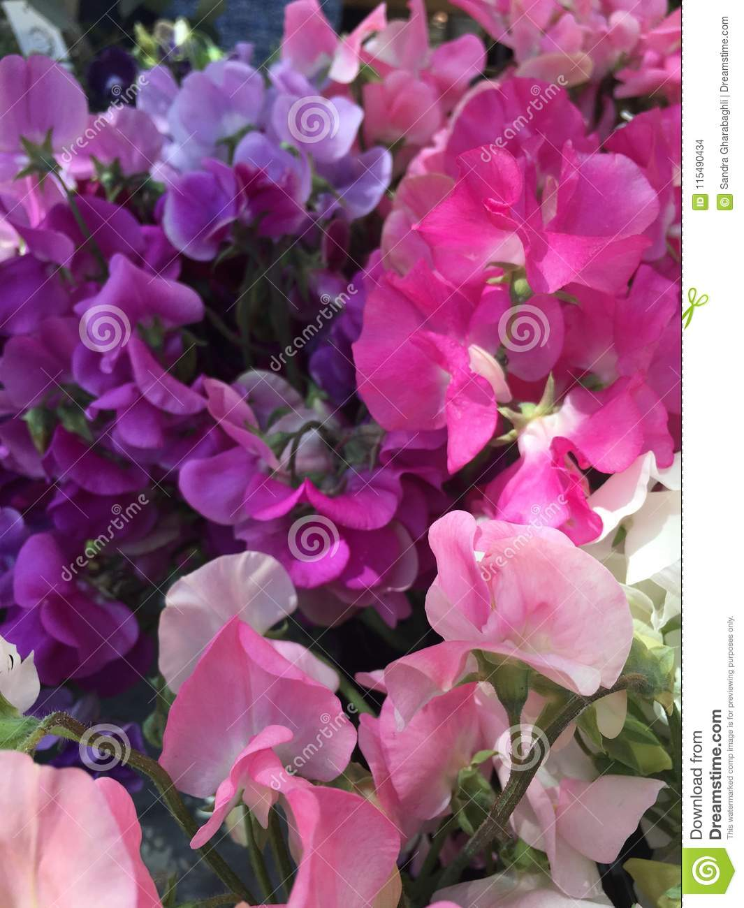Purple Hot Pink And Pale Pink Sweet Peas Stock Photo Image Of