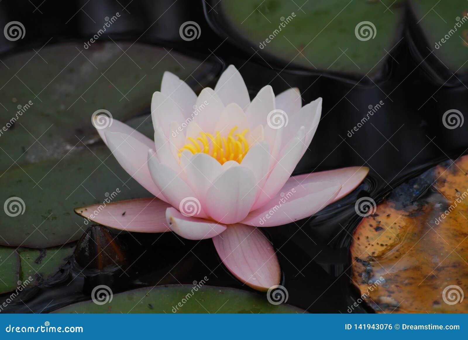 Pale Pink Water Lily Blossom i vatten- botanisk trädgård