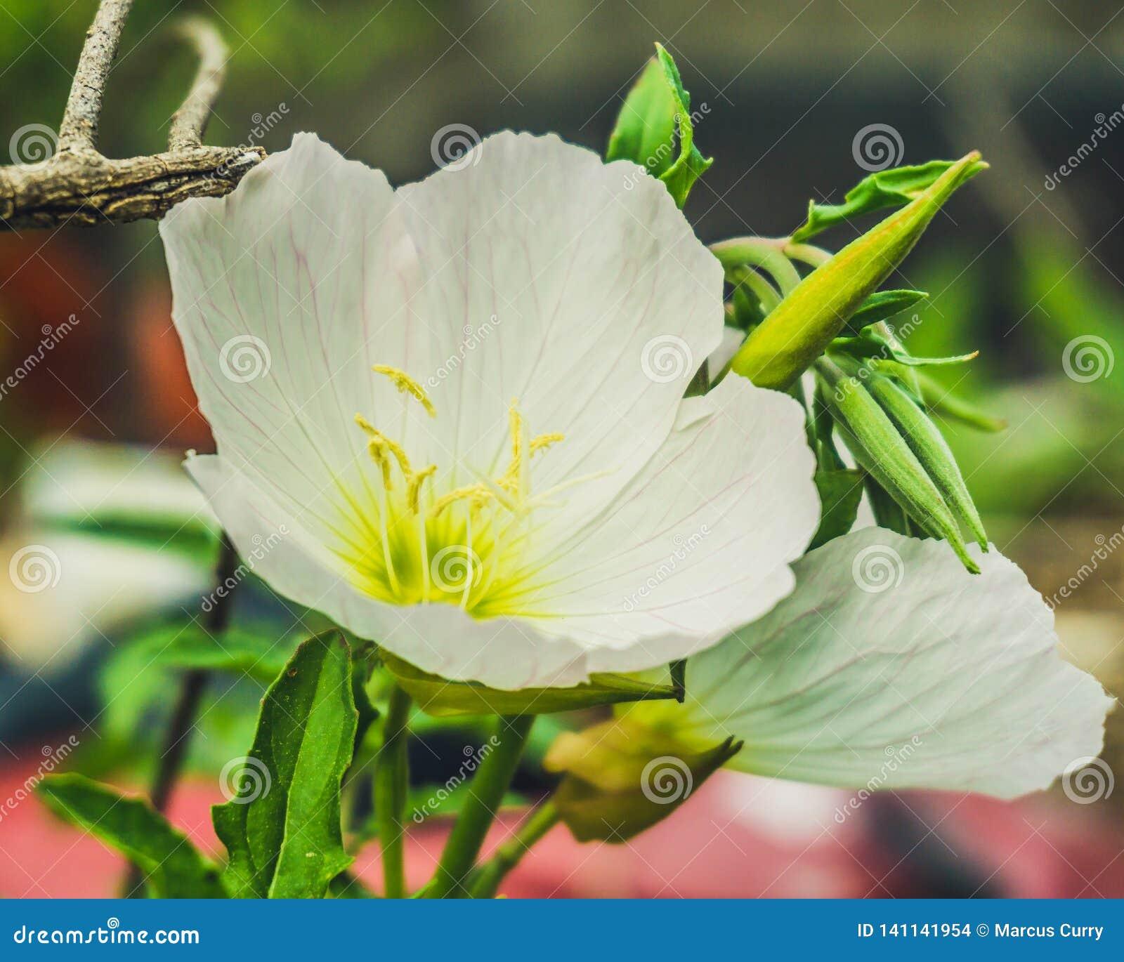 Pale Primrose Wild blomma