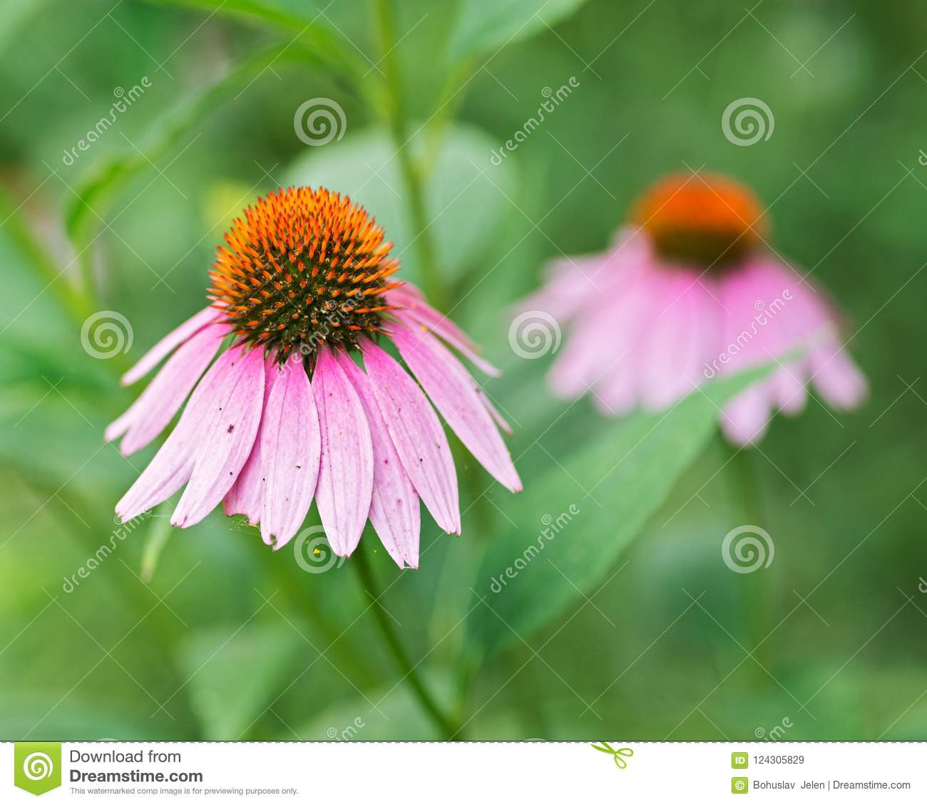 Pale purple echinacea purpurea flowering perennial plant from Asteraceae family.