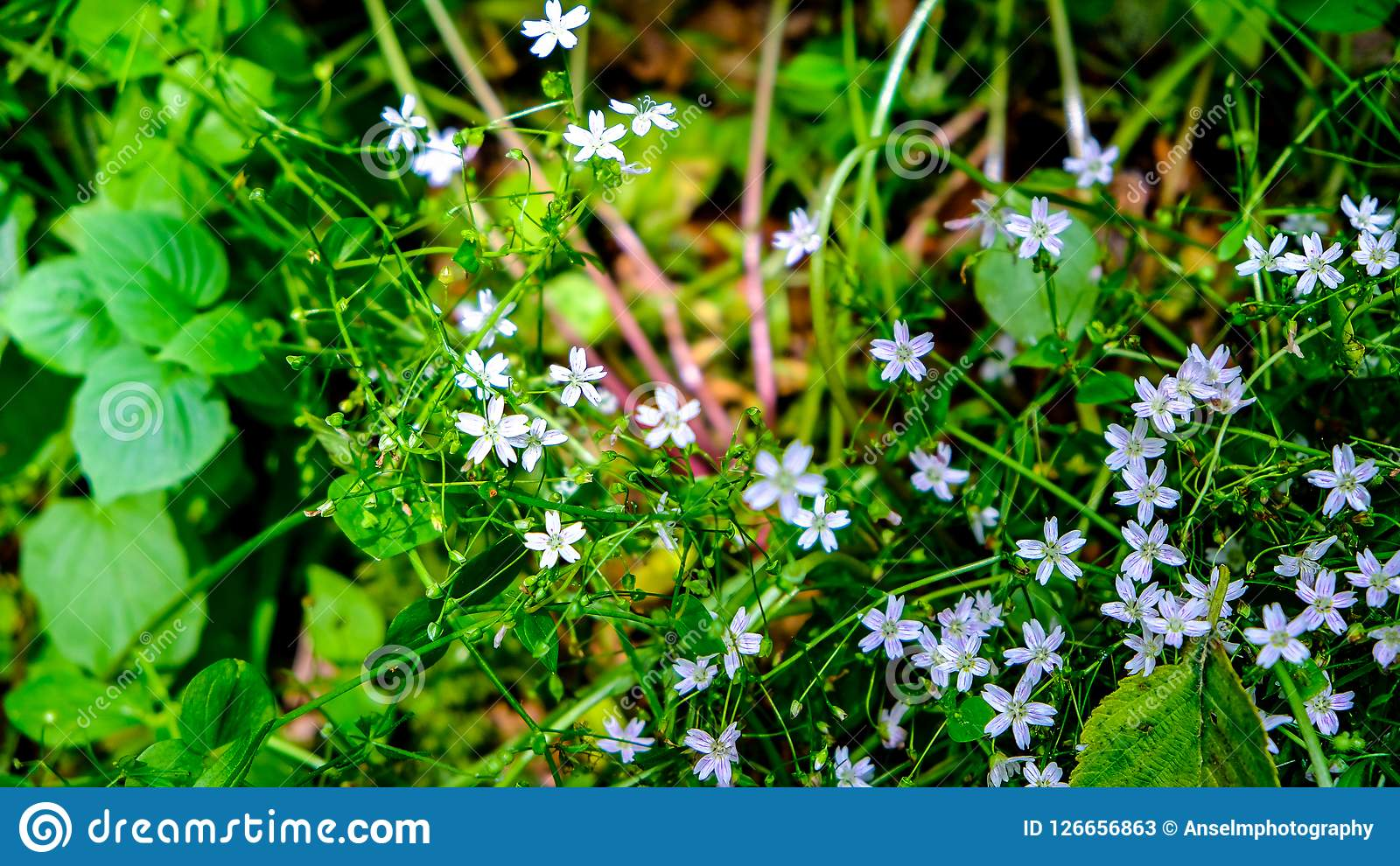 Pale Purple Spring Flowers On minuscolo sveglio Forest Floor Of Puget Sound in Sunny Spring Day intelligente, WA