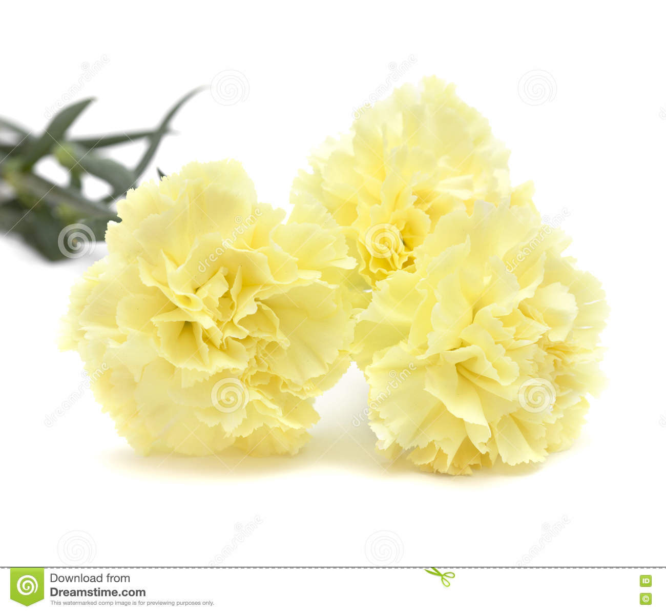 Pale Yellow Carnation Flowers Isolated Stock Photo Image Of