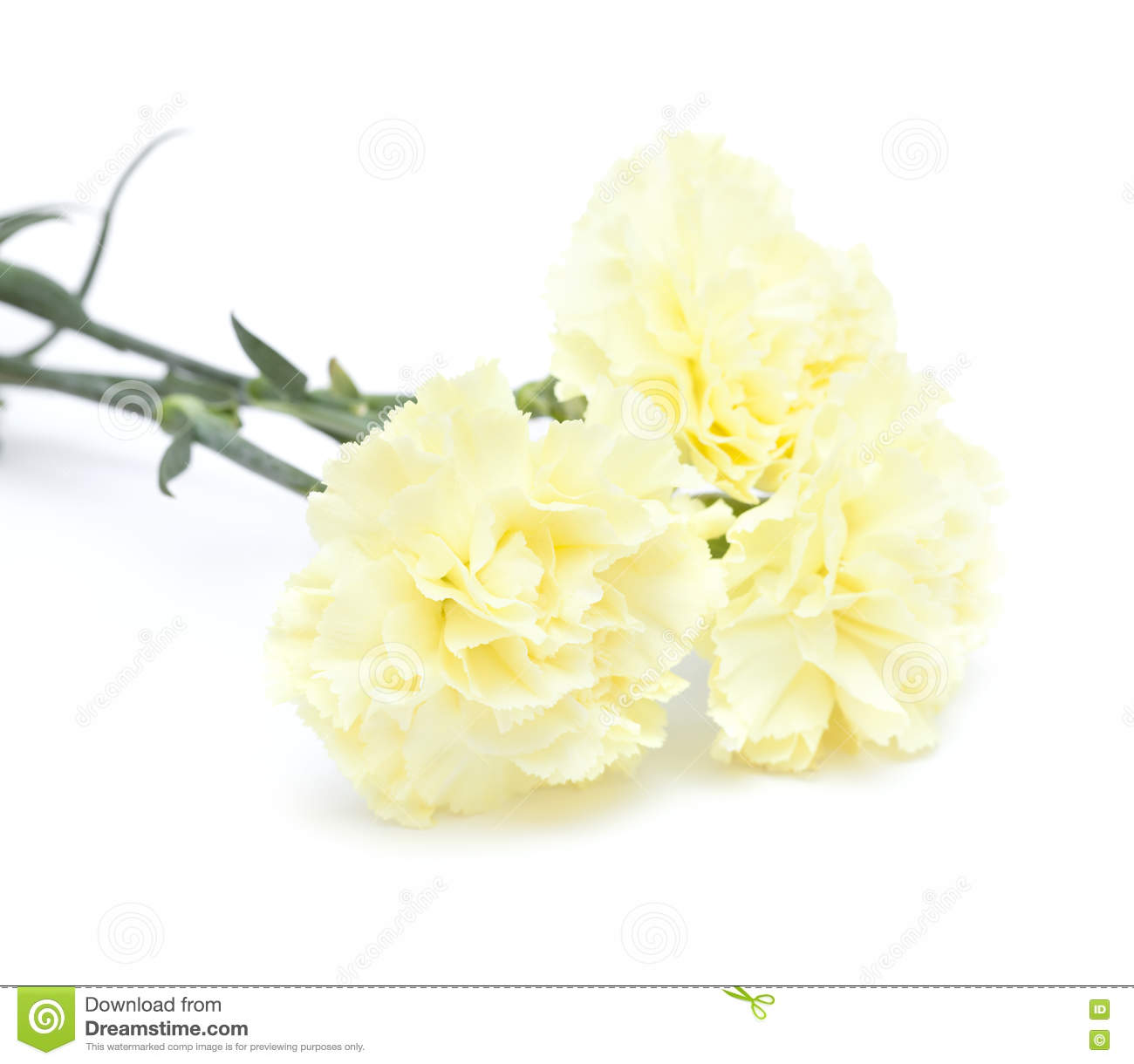 Pale Yellow Carnation Flowers Isolated Stock Image Image Of