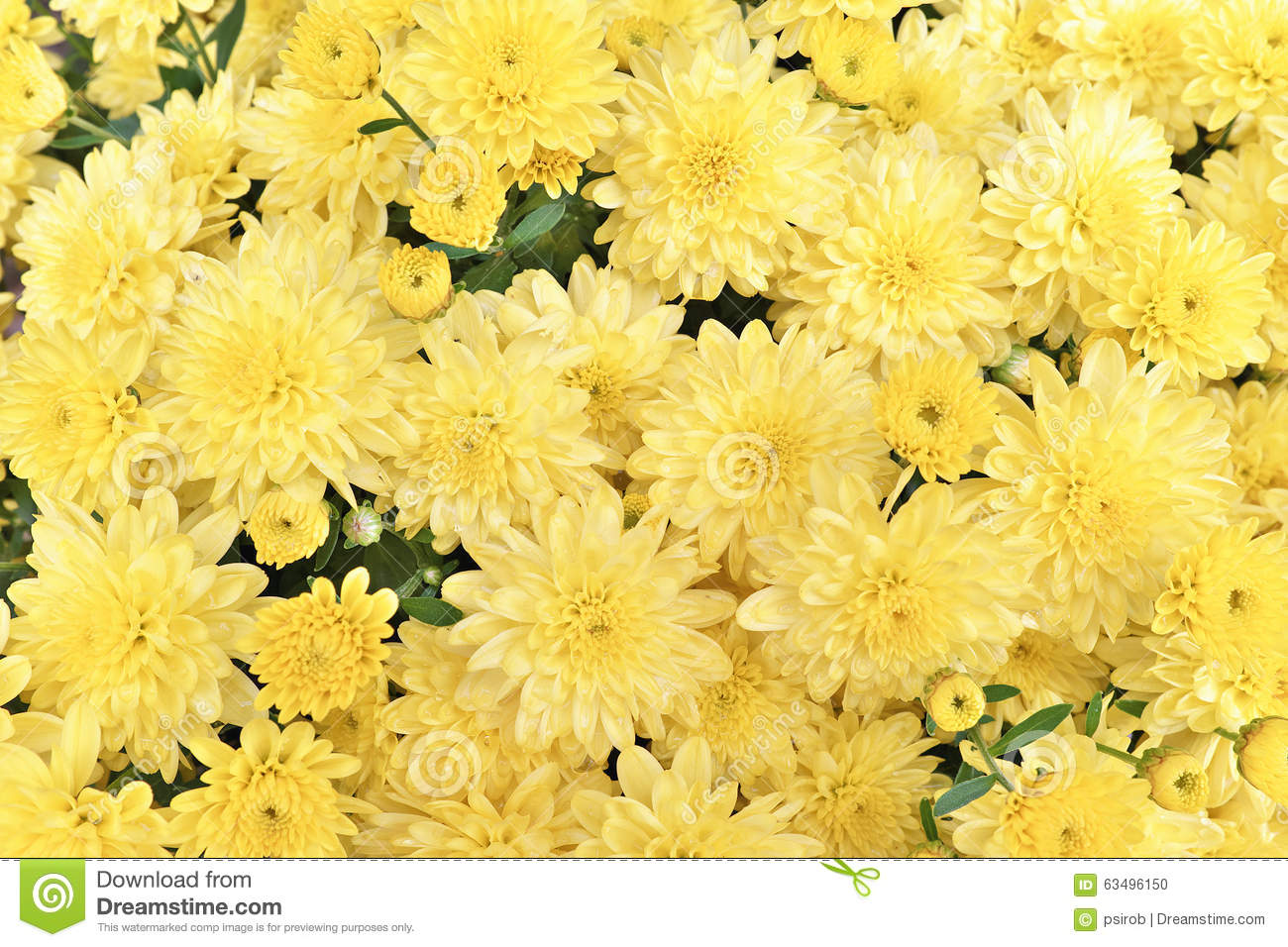 Pale yellow chrysanthemum flower background horizontal stock photo pale yellow chrysanthemum flower background horizontal mightylinksfo Choice Image