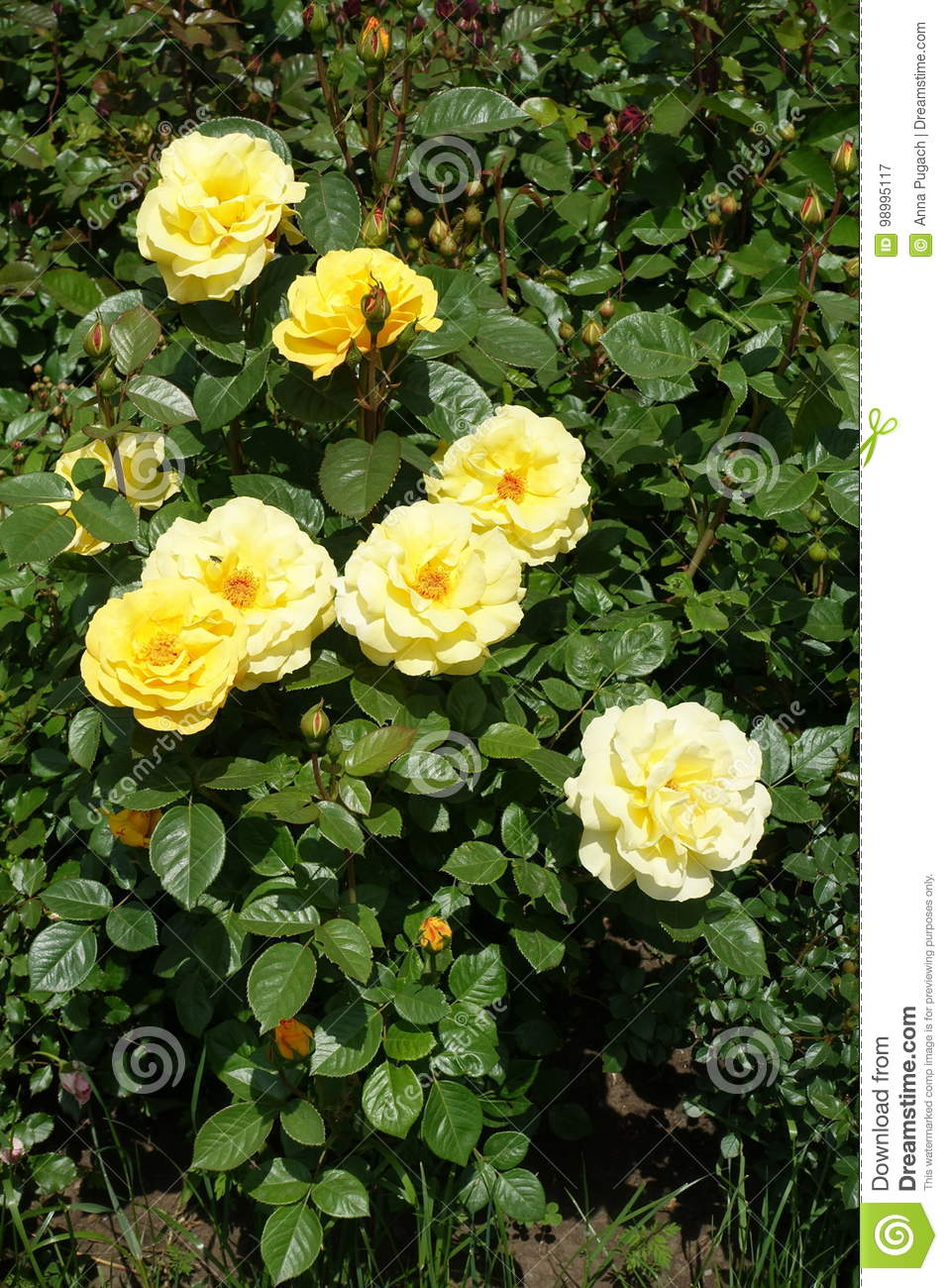 Pale yellow flowers and glossy leaves of rose stock image image of download pale yellow flowers and glossy leaves of rose stock image image of bright mightylinksfo