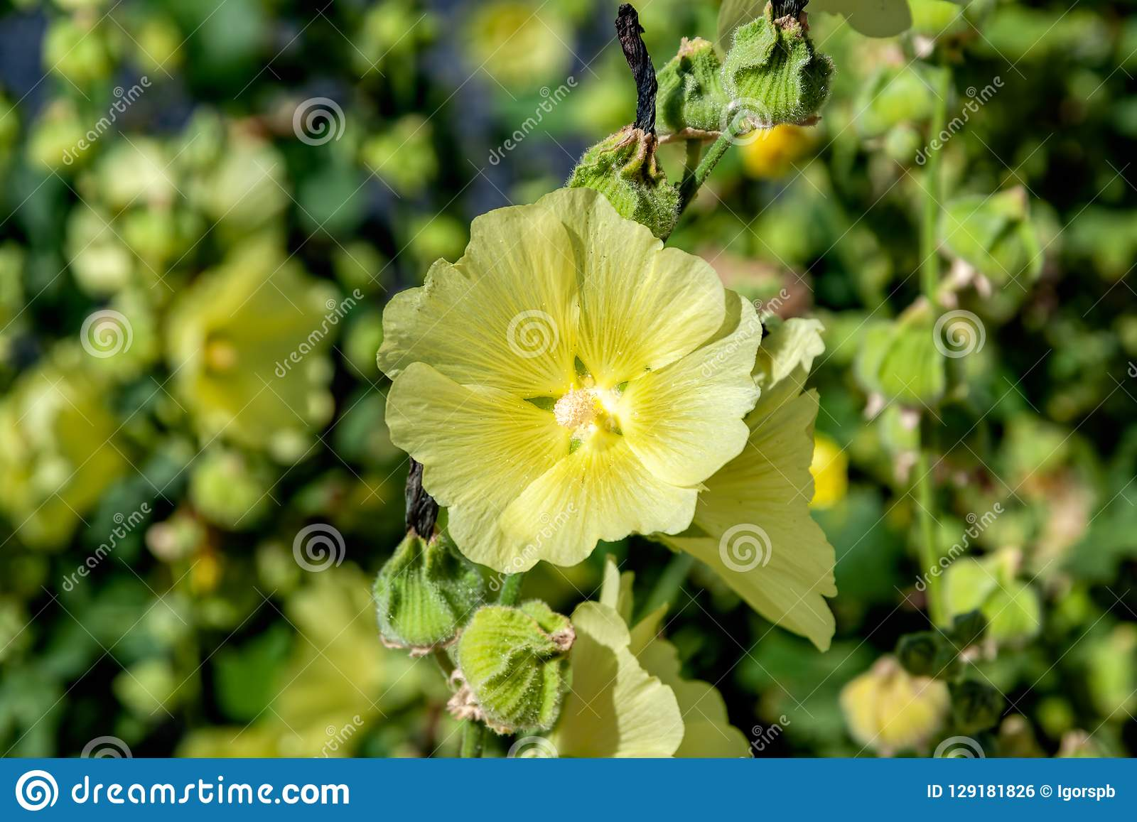 Pale Yellow Flowers And Seeds Capsules Of Blooming Hollyhock Al Stock Photo Image Of Botanic Landscape 129181826,Plastic Emulsion Paint Price In Delhi