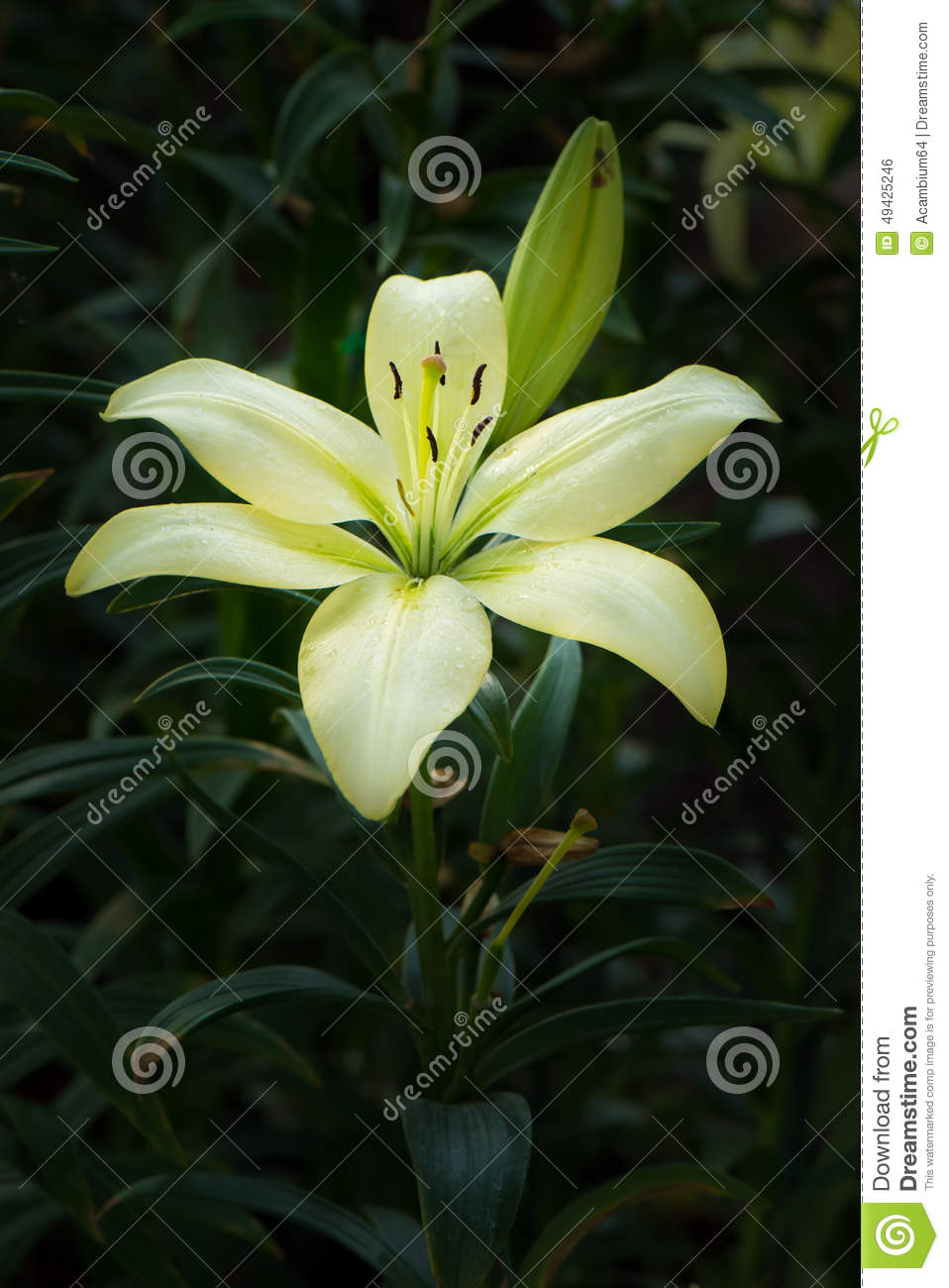 Pale Yellow Lilly Flower stock photo. Image of freshness - 49425246