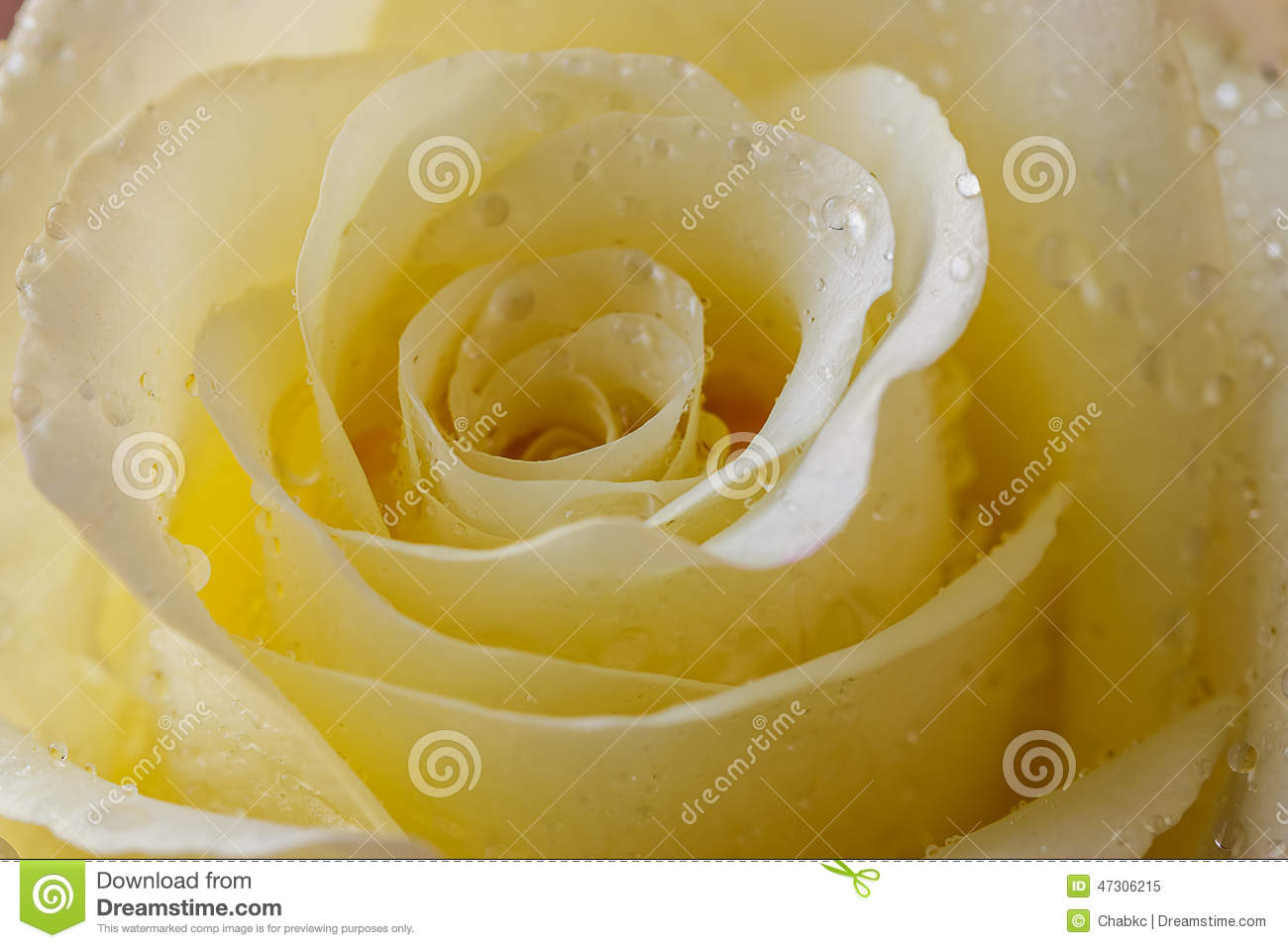 yellow roses with water drops - photo #7