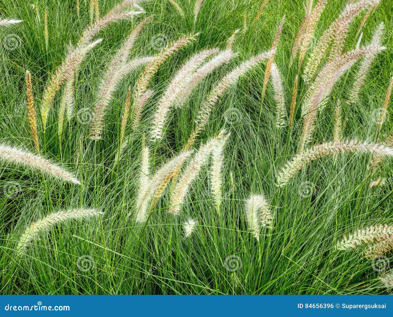 Palea met Groene Grassen