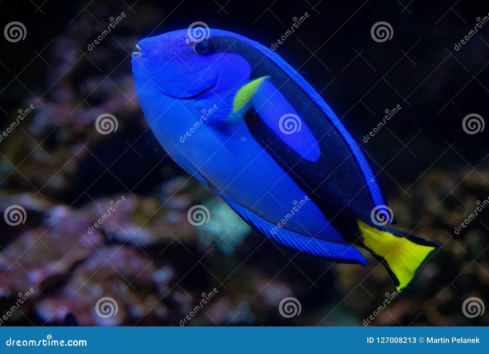 Palet Surgeonfish - Paracanthurus-hepatus is species van de indo-Stille Oceaan surgeonfish