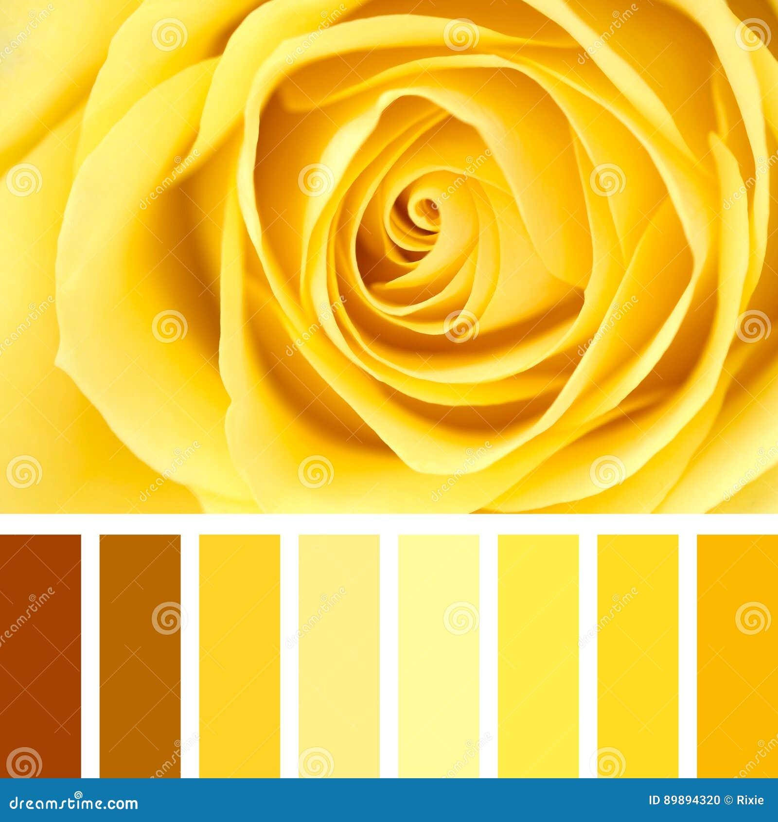 Palette De Plan Rapproché De Rose De Jaune Photo Stock Image Du