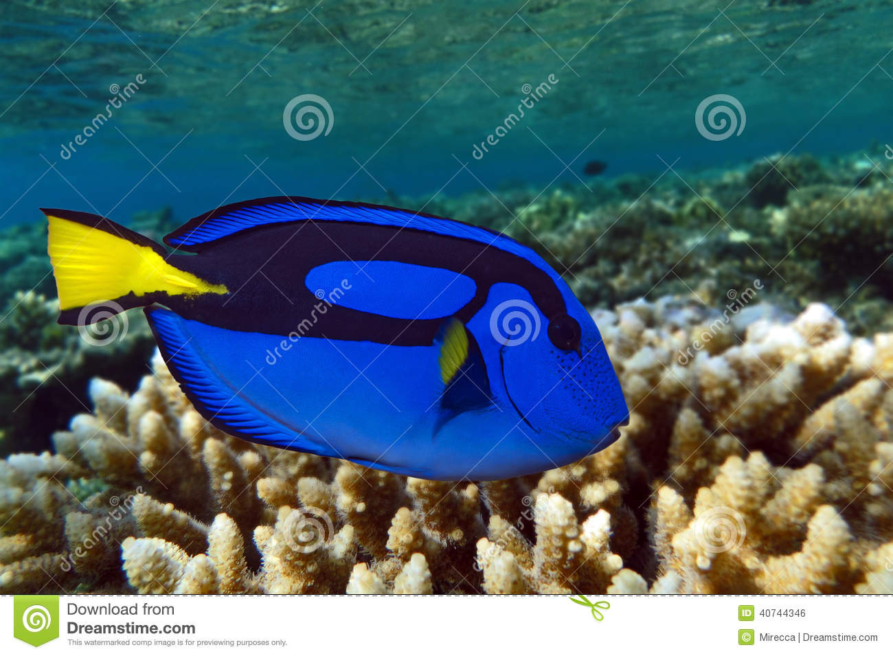 Palette Surgeonfish Pacific Blue Tang Stock Photo
