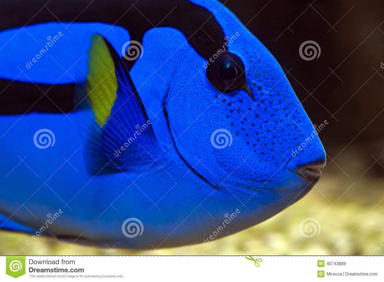 Palette surgeonfish pacific blue tang stock photo for Royal blue tang fish