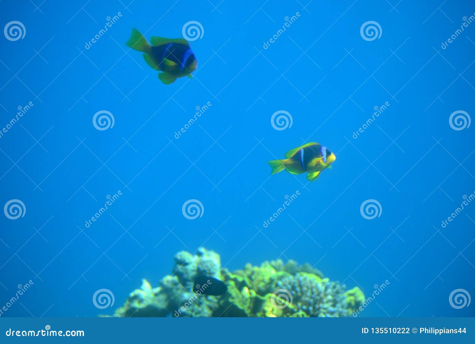 Palhaço Fish Nemo nos recifes de corais e nas estações de tratamento de água no Mar Vermelho, Eilat, Israel