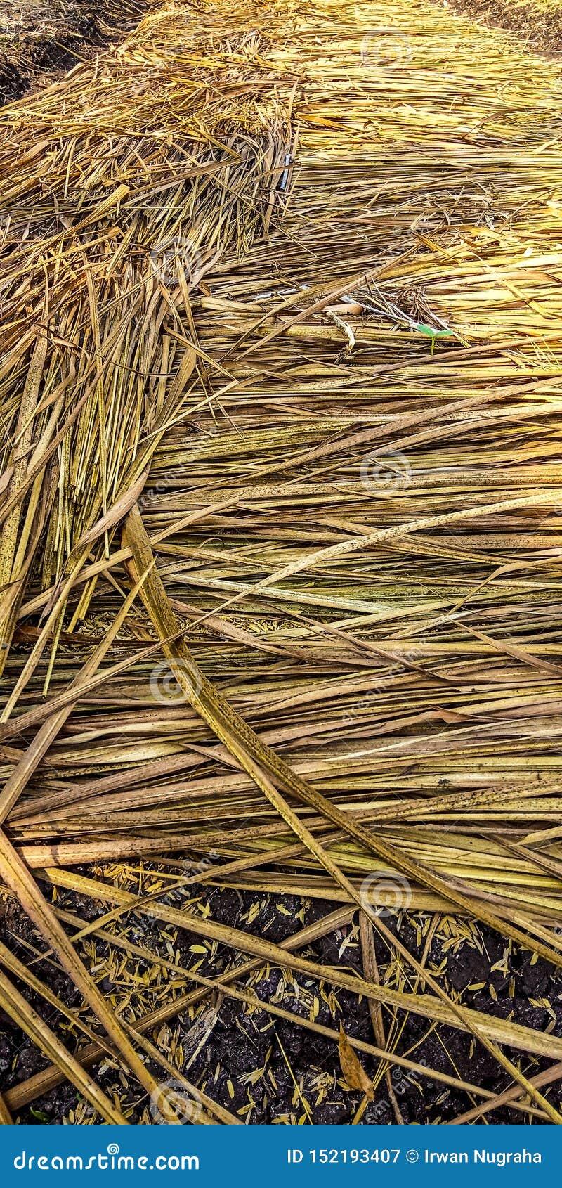 Palha que cobre o arroz