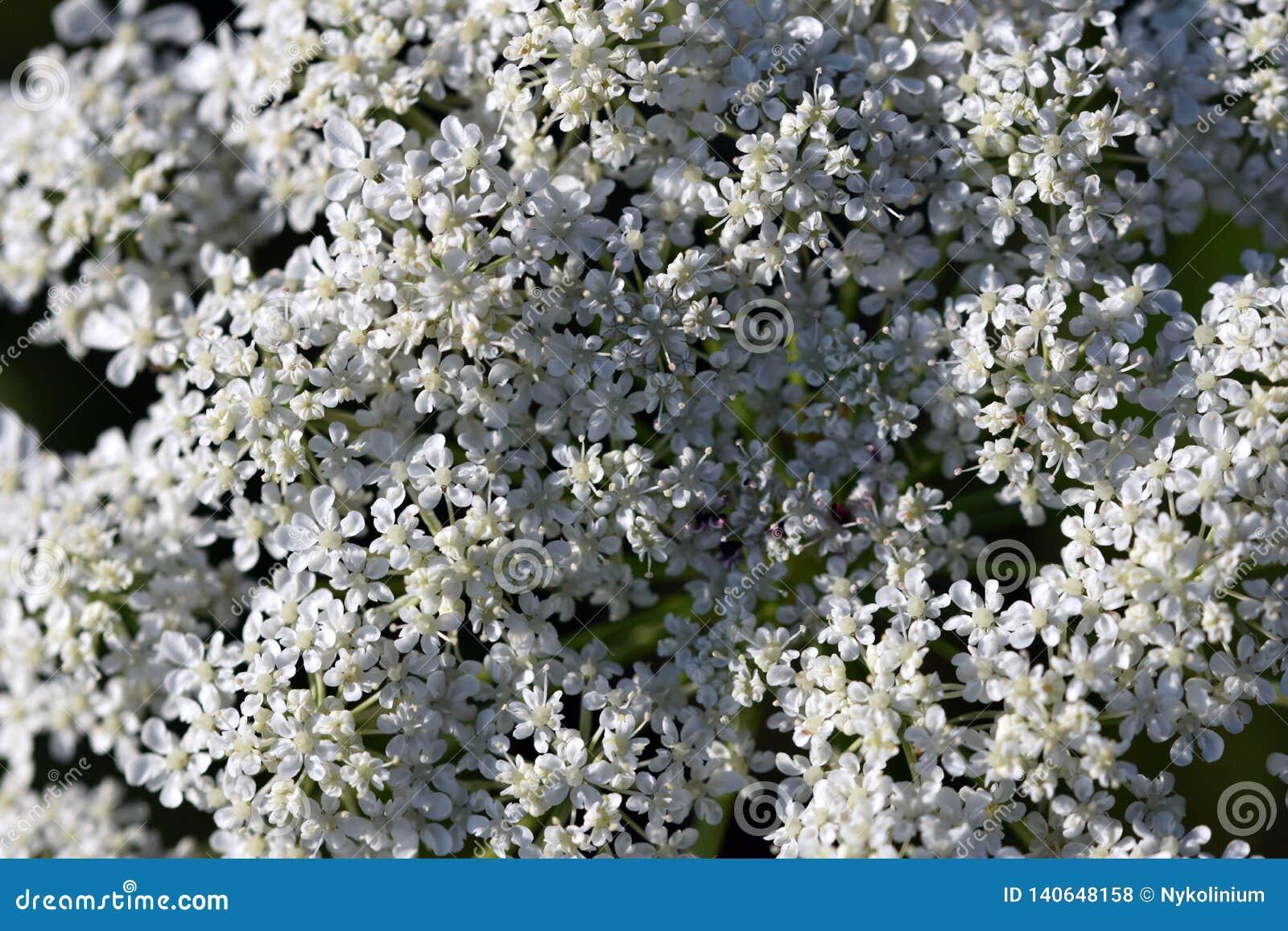 Palillo-planta de la textura de la flor del visnaga de Ammi