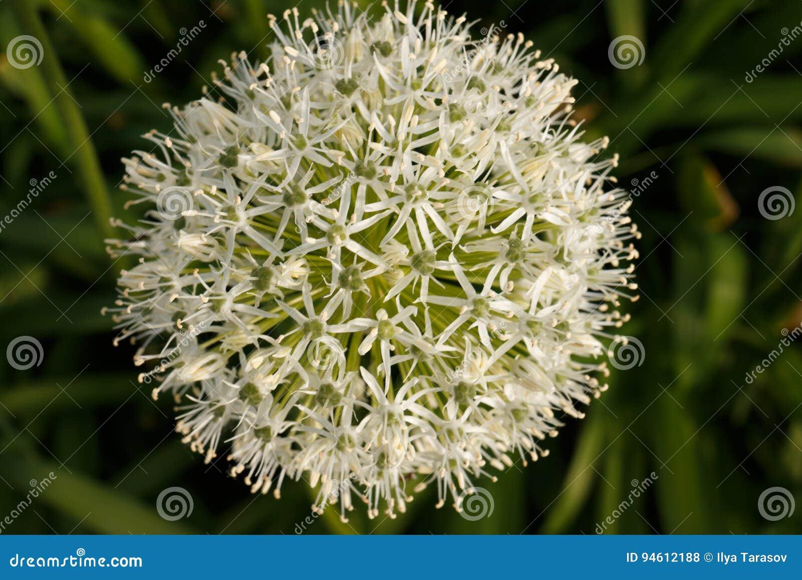 Fiori A Palla.Palla Bianco Verde Di Un Fiore Decorativo Fotografia Stock