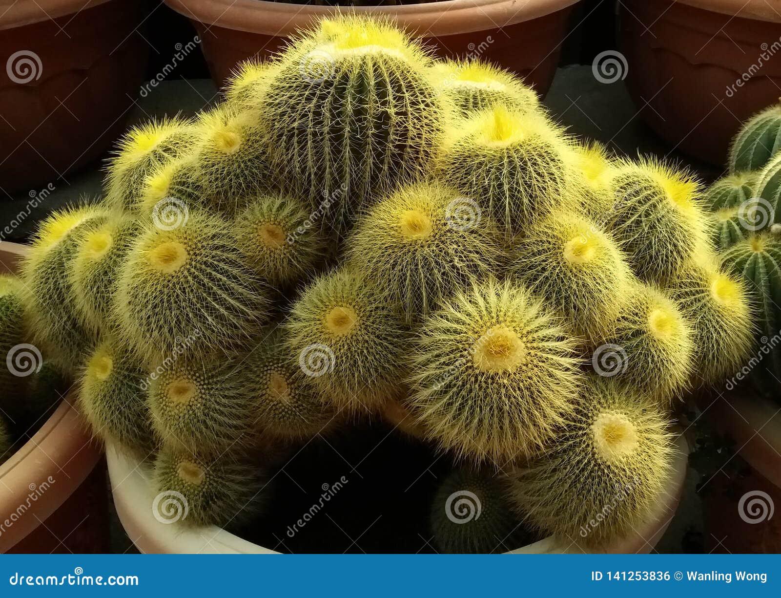 Palla fine del cactus della spina
