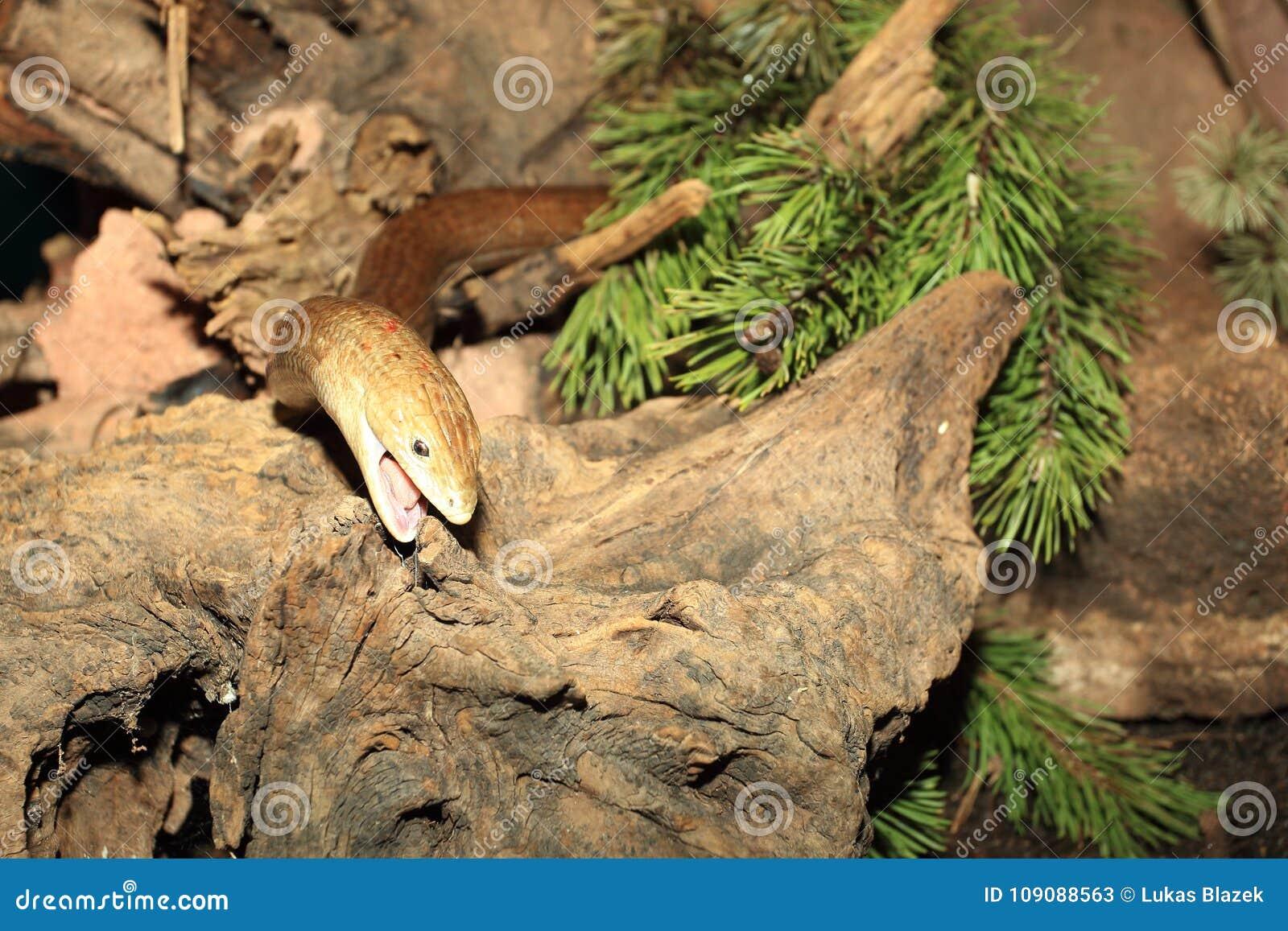 Pallas玻璃蜥蜴