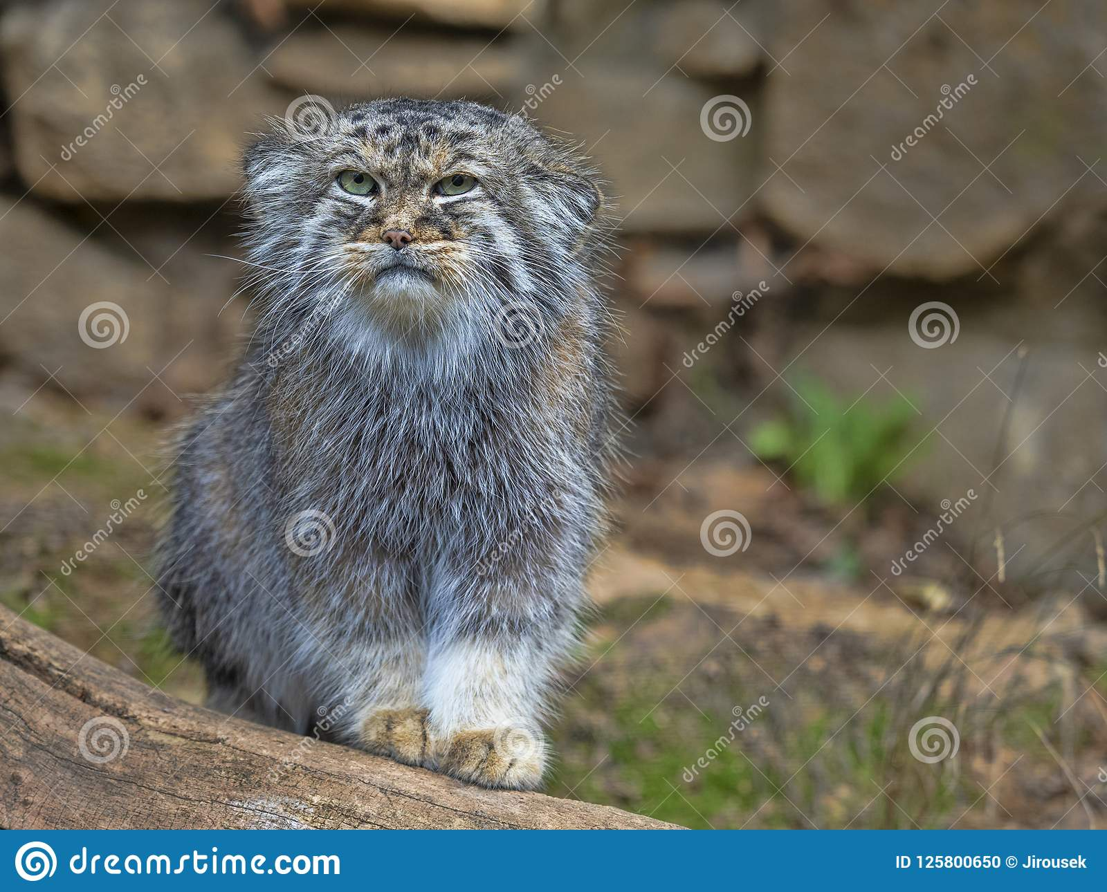 Pallas` kat, Otocolobus manul, portret van een mannetje