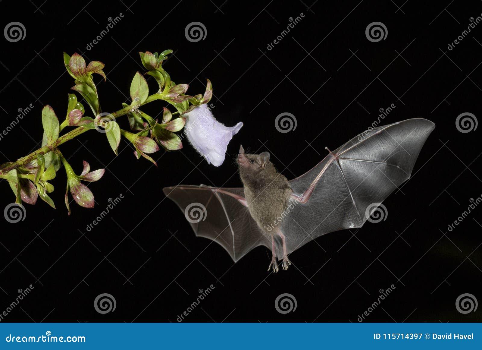 Pallas ` s Lång-spontade slagträet - den Glossophaga soricinaen