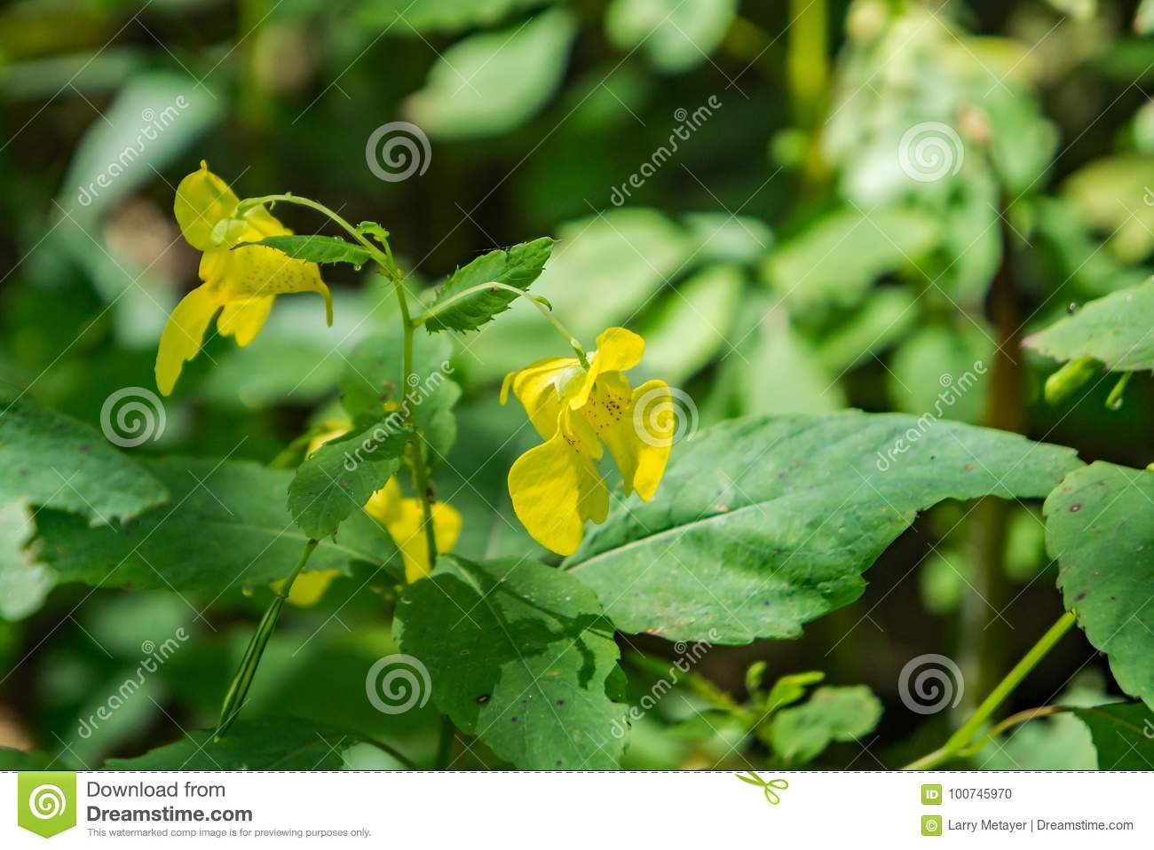 Pallida d Impatiens d †jaune de Jewelweed «