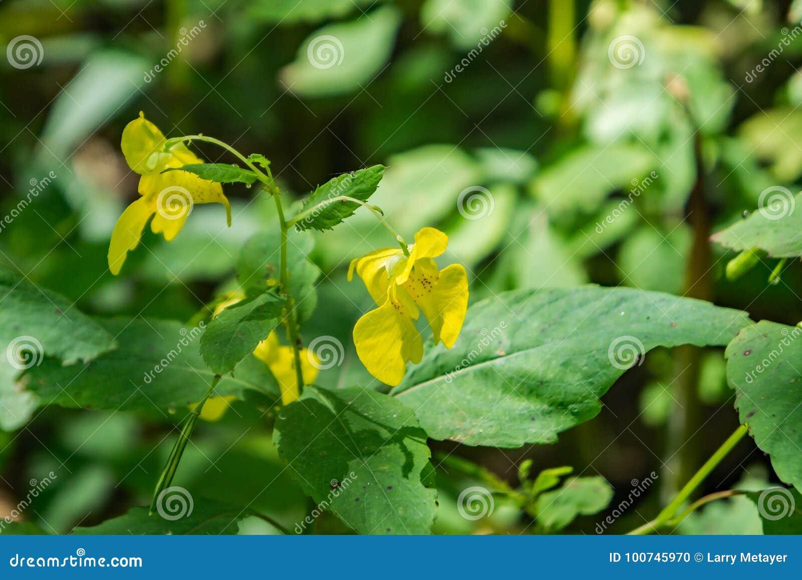 "Pallida de Impatiens del †amarillo del Jewelweed """