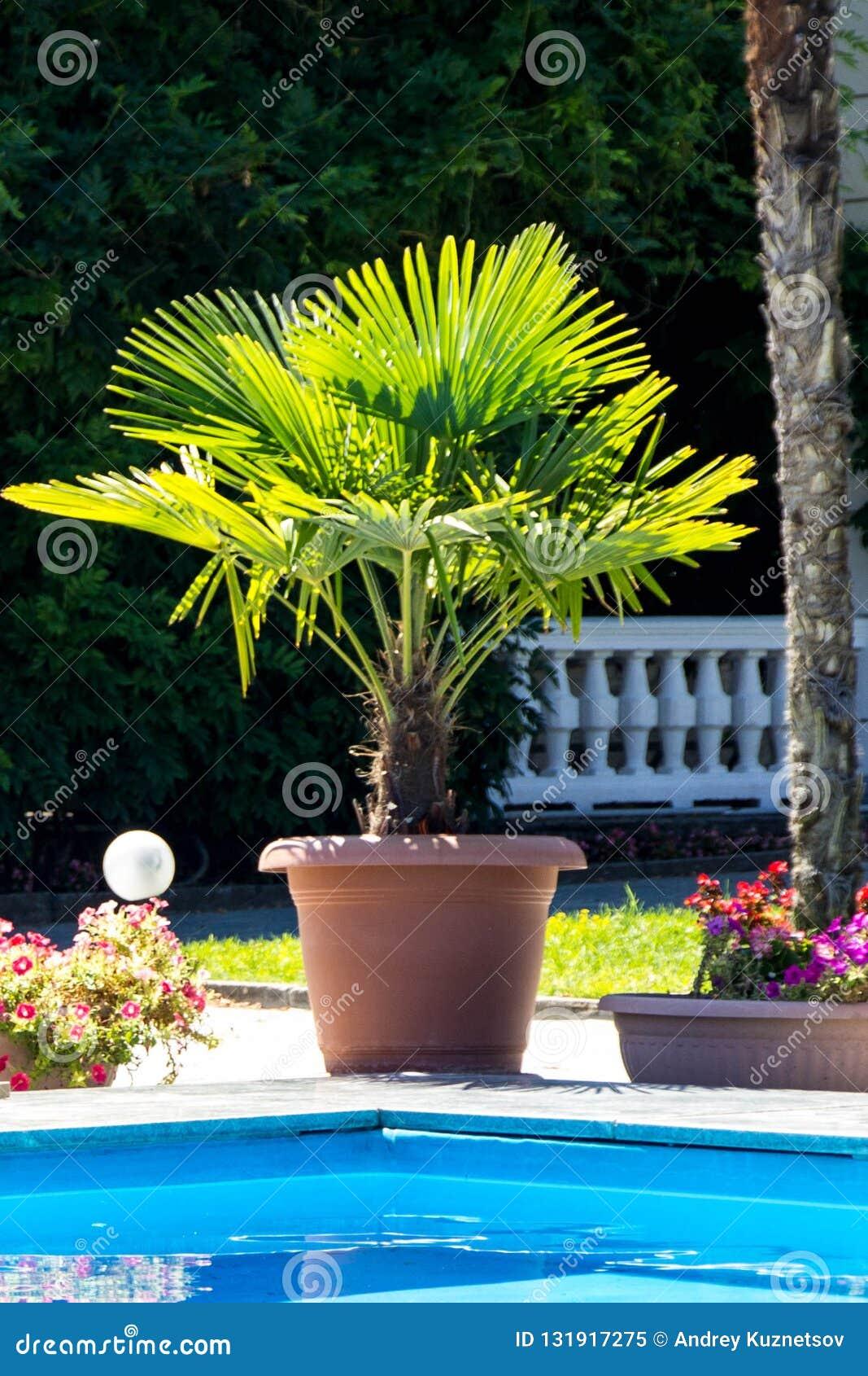 Palm door de pool in een pot